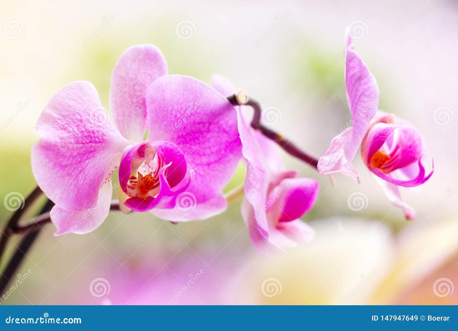 Ο όμορφος τροπικός εξωτικός κλάδος με την άσπρη, ρόδινη και ροδανιλίνης ορχιδέα Phalaenopsis σκώρων ανθίζει την άνοιξη