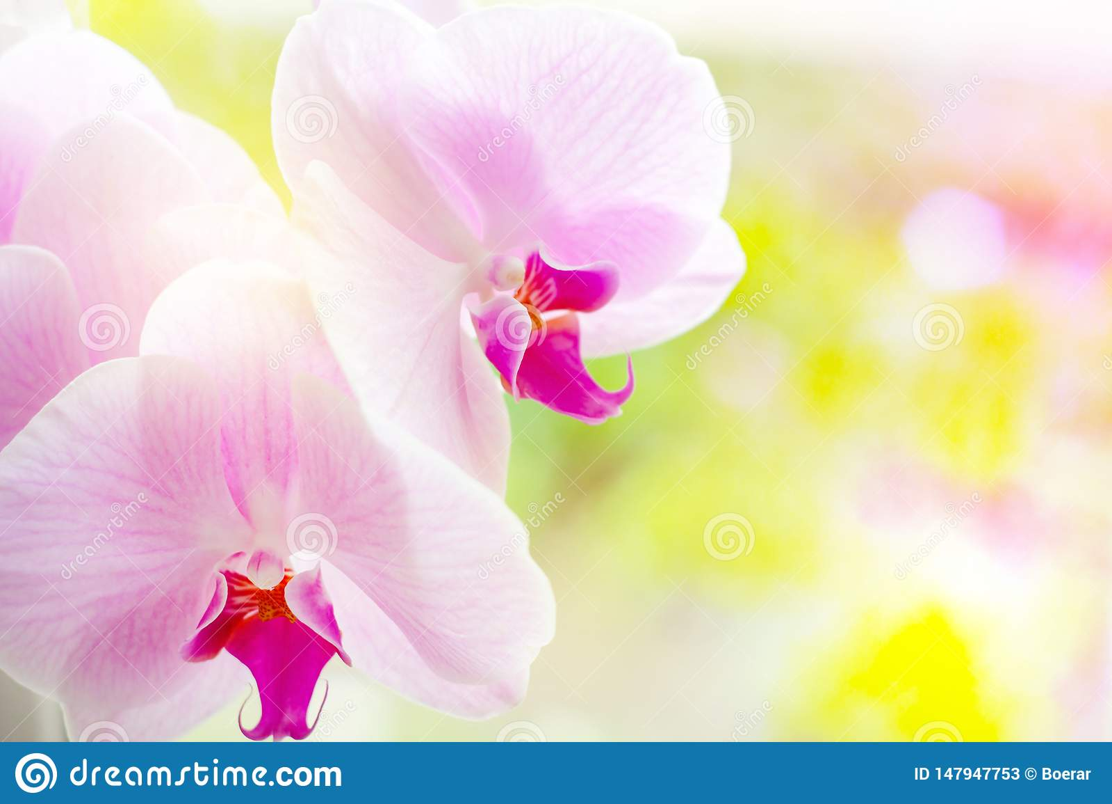Ο όμορφος τροπικός εξωτικός κλάδος με την άσπρη, ρόδινη και ροδανιλίνης ορχιδέα Phalaenopsis σκώρων ανθίζει την άνοιξη στο δάσος