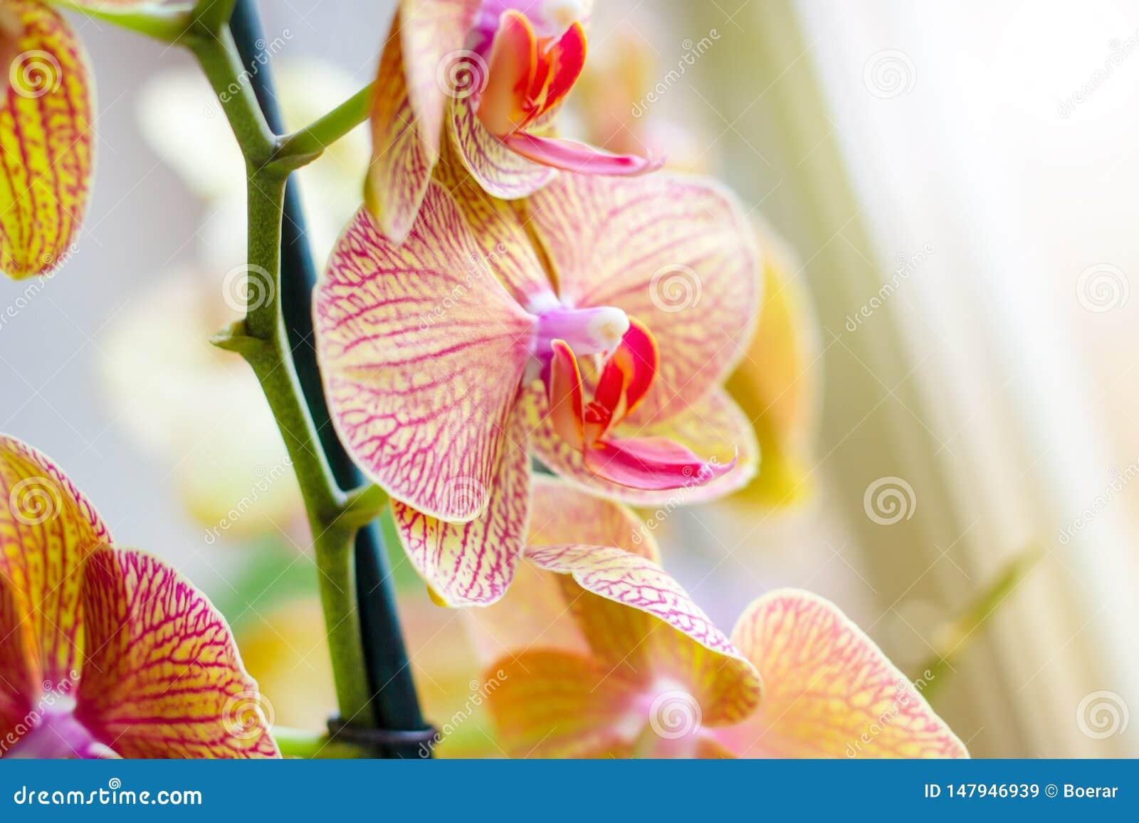 Ο όμορφος τροπικός εξωτικός κλάδος με τη ρόδινη και κίτρινη ορχιδέα Phalaenopsis σκώρων ανθίζει την άνοιξη