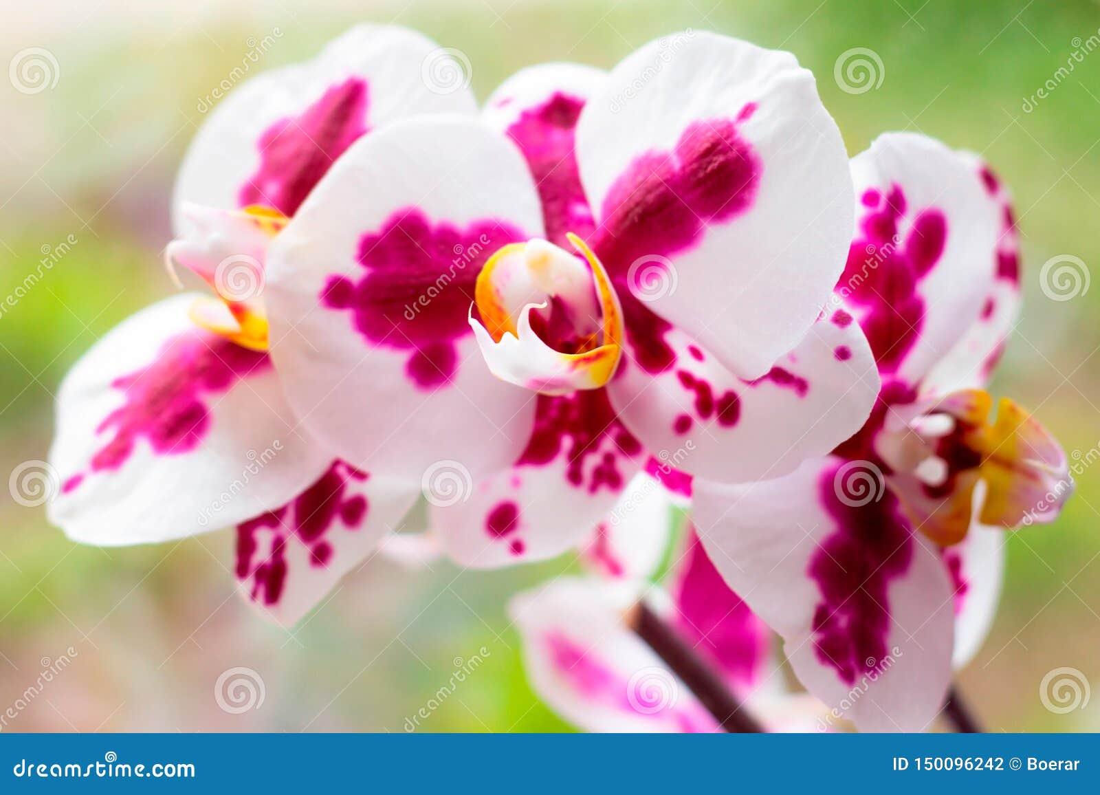 Ο όμορφος τροπικός εξωτικός κλάδος με τη ρόδινη και ροδανιλίνης ορχιδέα Phalaenopsis σκώρων ανθίζει την άνοιξη