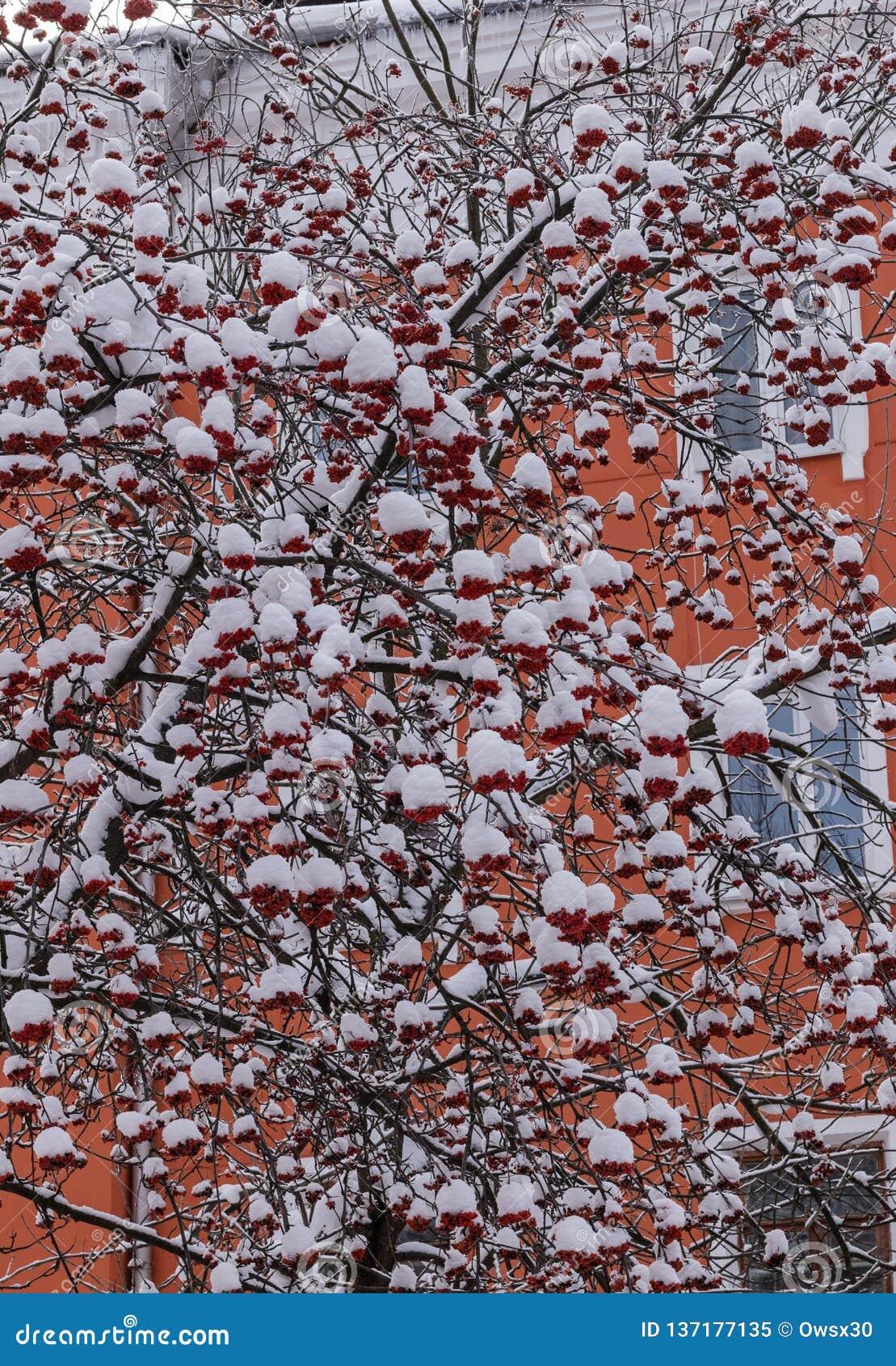 Ο Rowan διακλαδίζεται με τις συστάδες των μούρων κάτω από το χιόνι στην πόλη το χειμώνα