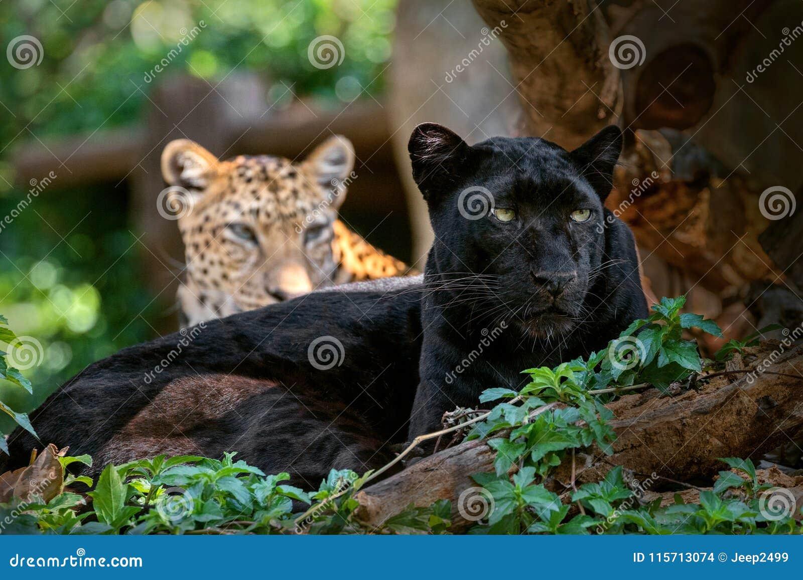 Πάνθηρας ή λεοπάρδαλη σε φυσικό