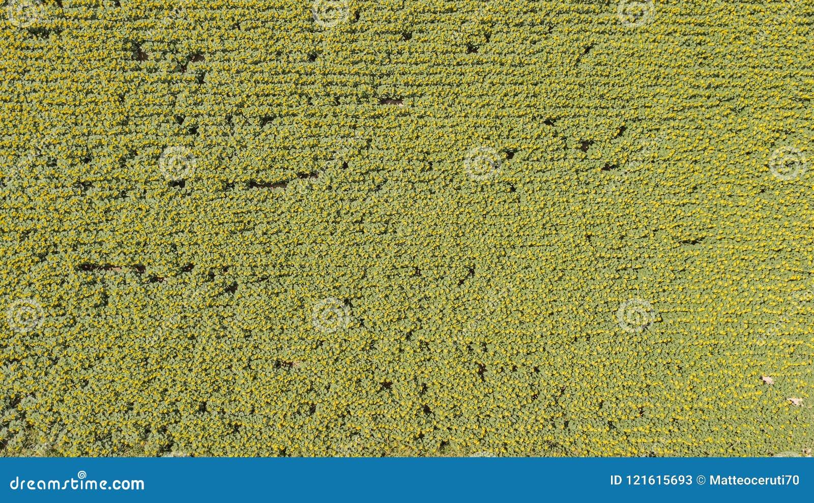 Πάνω-κάτω το τοπίο των κίτρινων ηλίανθων Θαυμάσιο αγροτικό τοπίο του τομέα ηλίανθων στην ηλιόλουστη ημέρα Εναέρια άποψη κηφήνων