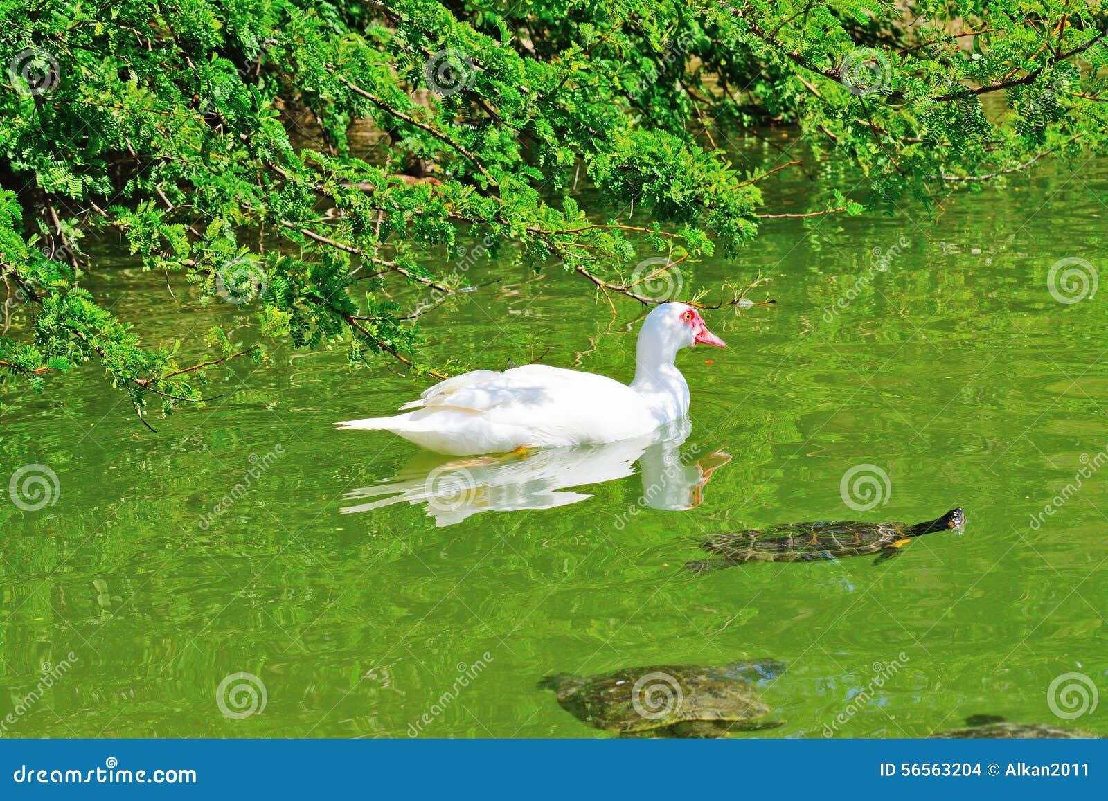 Download Πάπια και χελώνες σε μια πράσινη λίμνη Στοκ Εικόνες - εικόνα από muscovy, χελώνες: 56563204