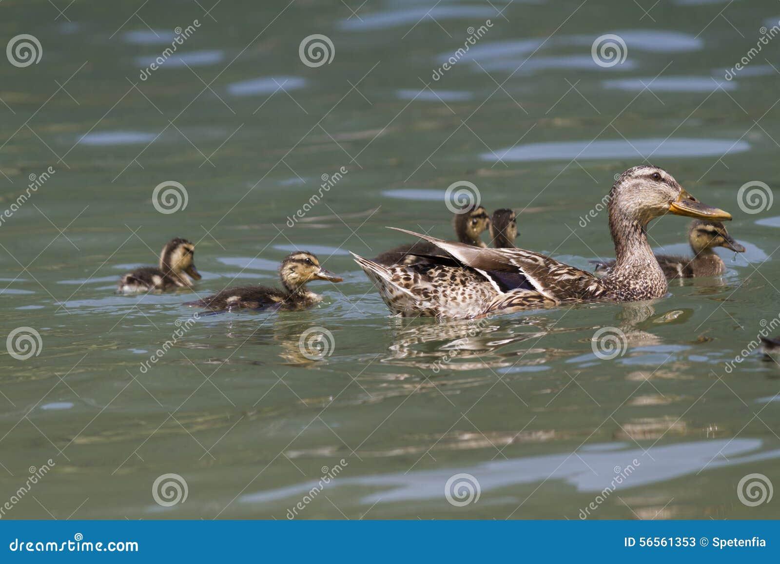 Download Πάπια με τους νεοσσούς στη λίμνη Στοκ Εικόνα - εικόνα από αγρόκτημα, χήνα: 56561353