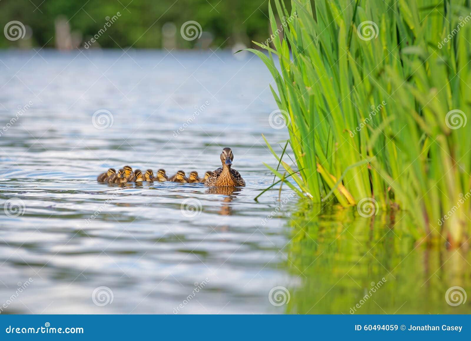 Πάπια μητέρων με τους νεοσσούς στο νερό από τους καλάμους