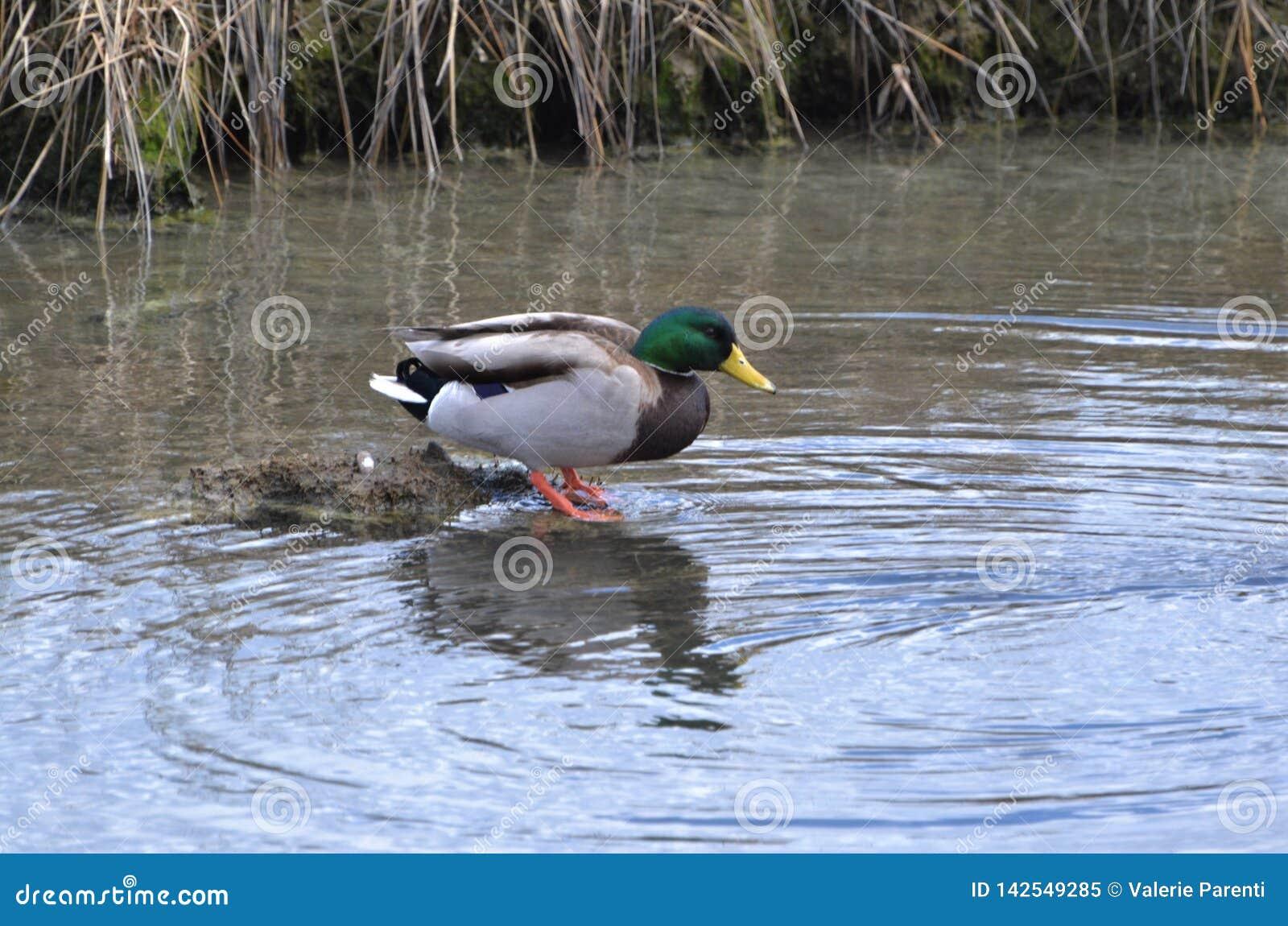Πάπια πρασινολαιμών που περπατά στο πουλί νερού