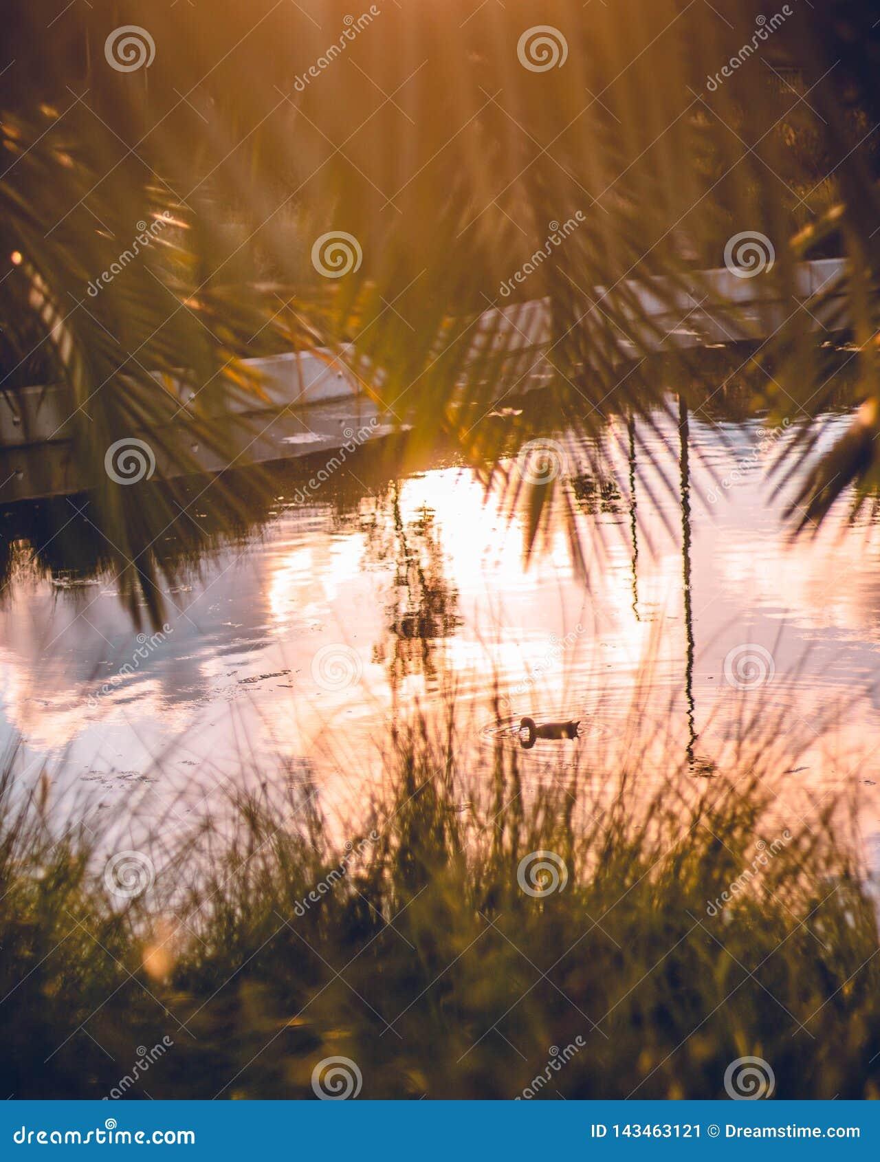 Πάπια σε μια λίμνη