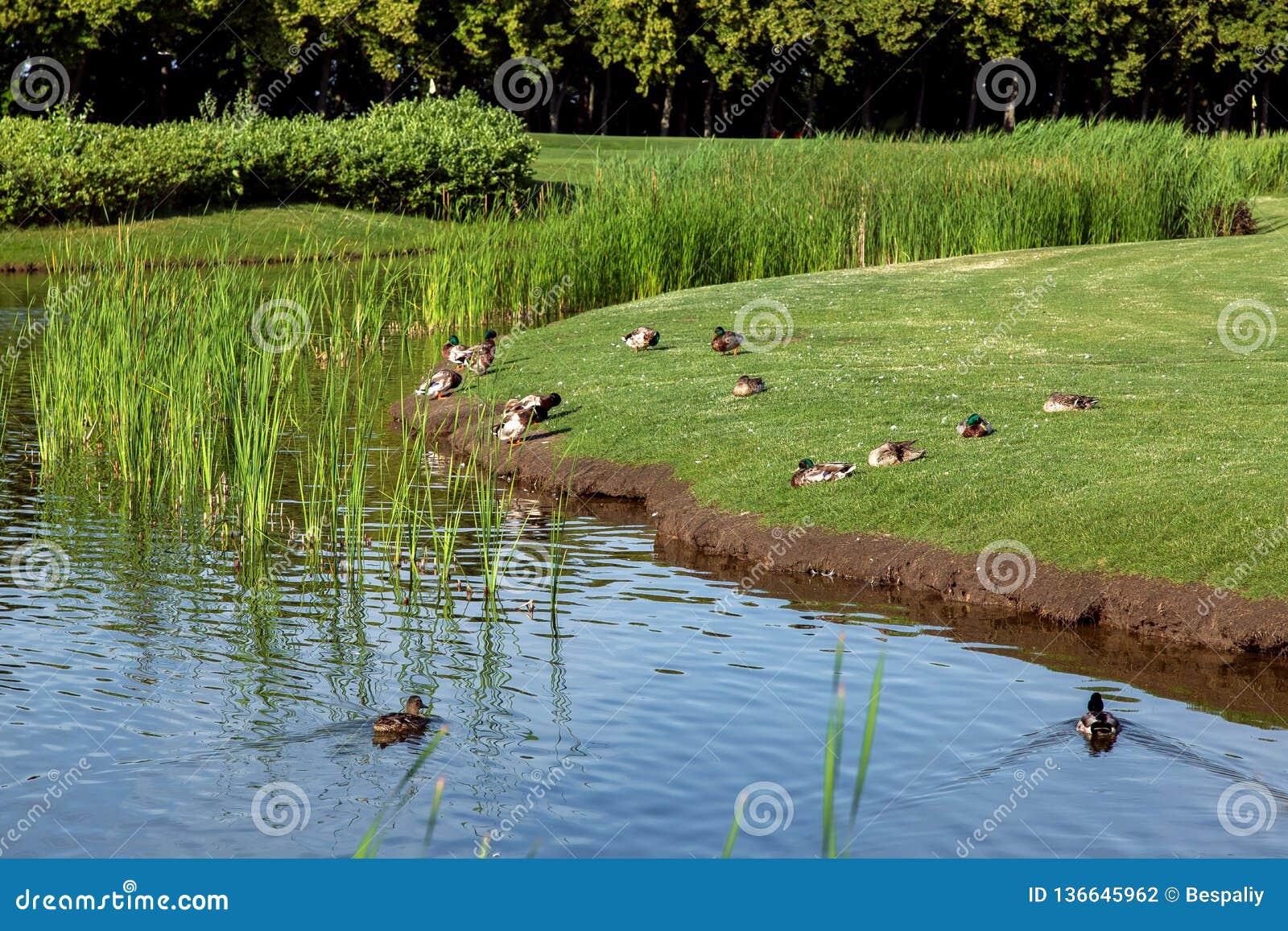 Πάπιες που επιπλέουν στο νερό και που κάθονται στην πράσινη χλόη