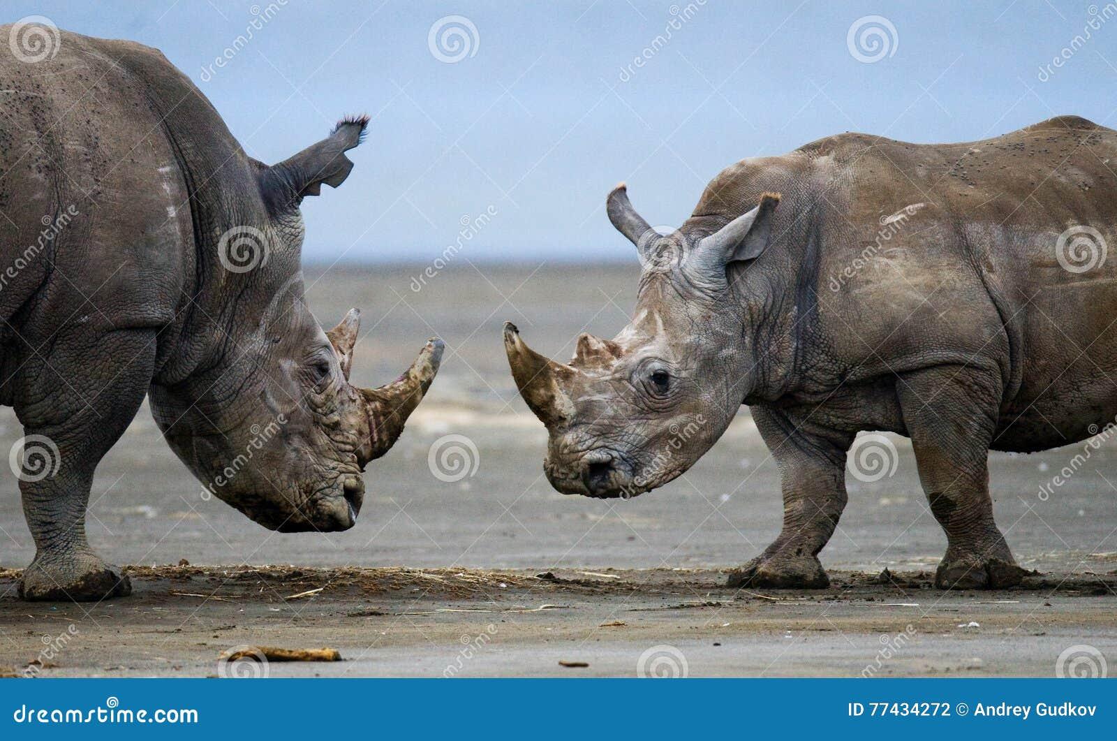 Πάλη δύο ρινοκέρων η μια με την άλλη Κένυα Εθνικό πάρκο Αφρική