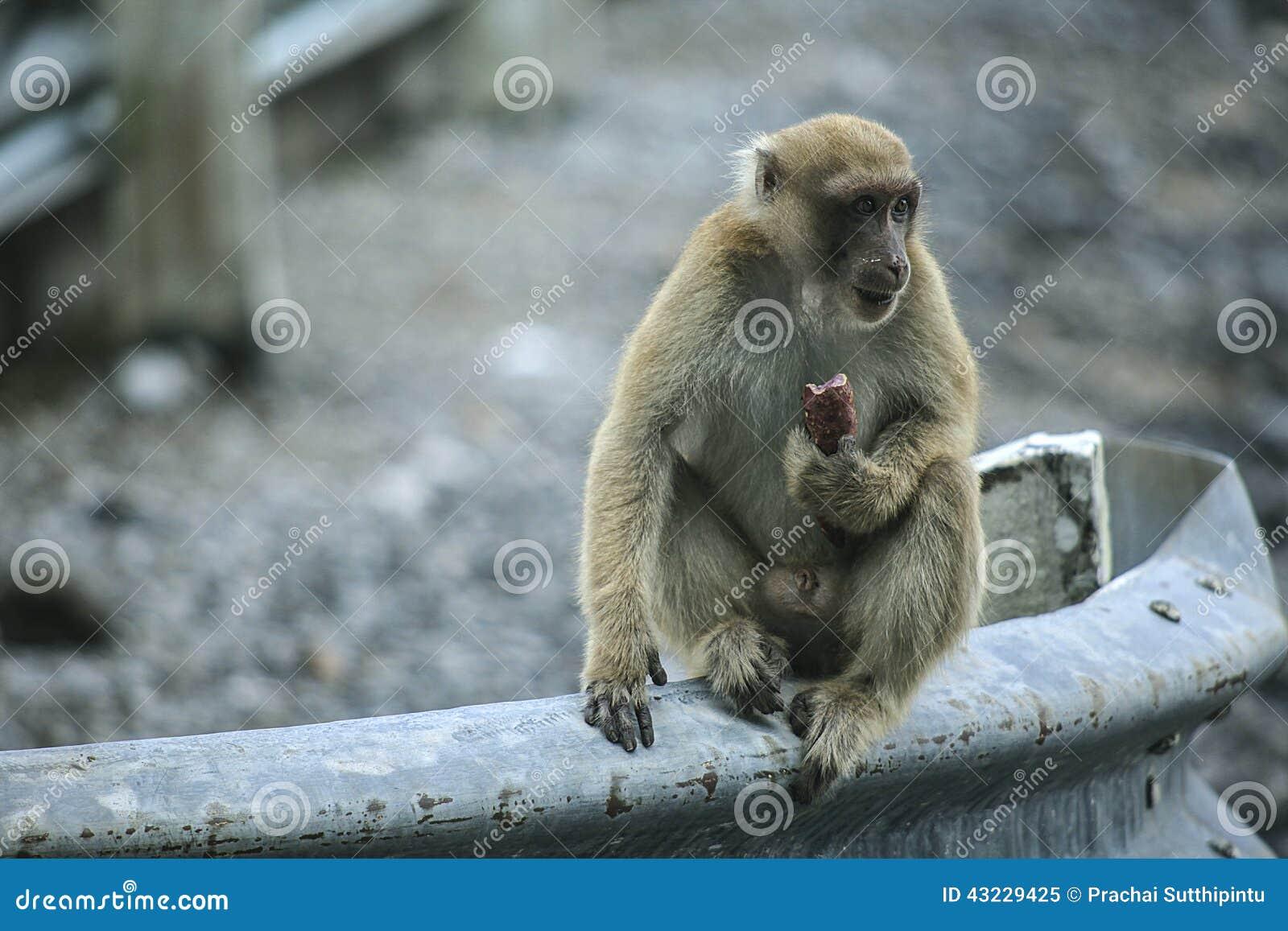 πίθηκος άτακτος