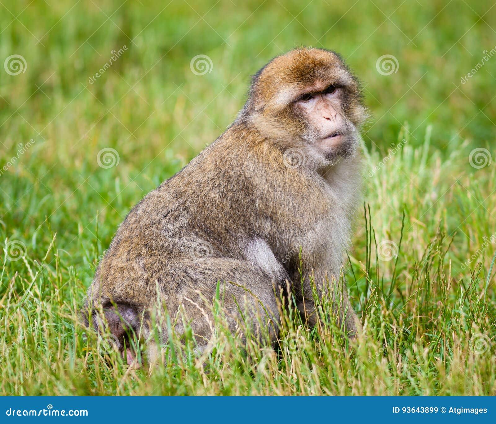 Πίθηκος Βαρβαρίας Macaques