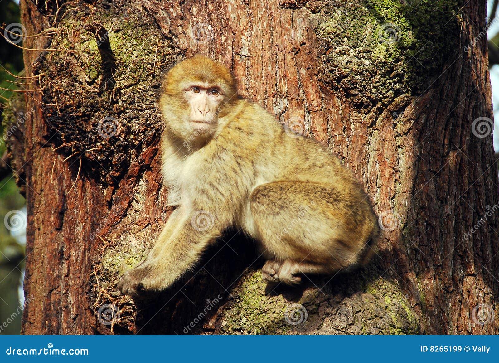 πίθηκος Βαρβαρία