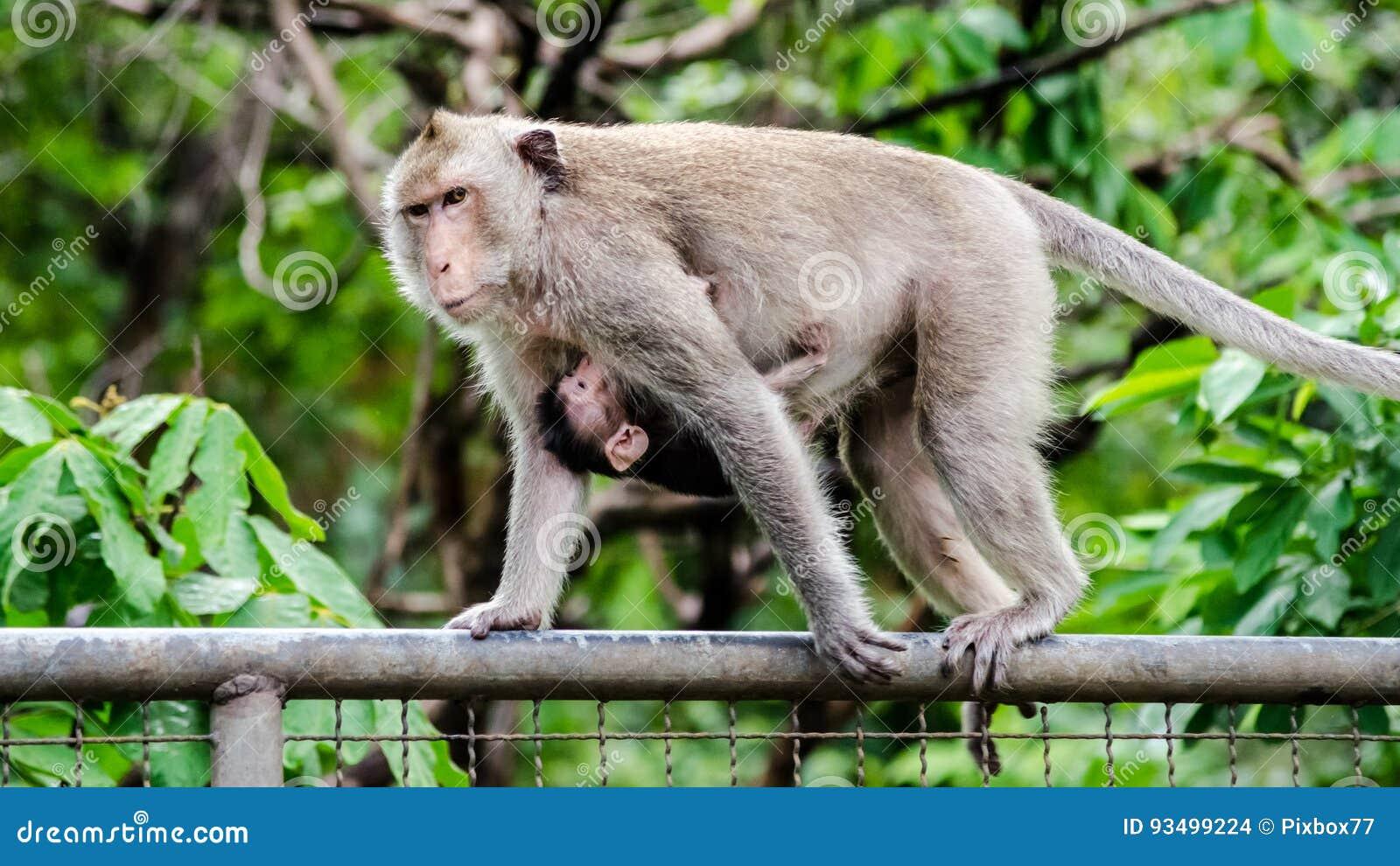 Πίθηκος μητέρων και μωρών στο μέταλλο γαλλικά