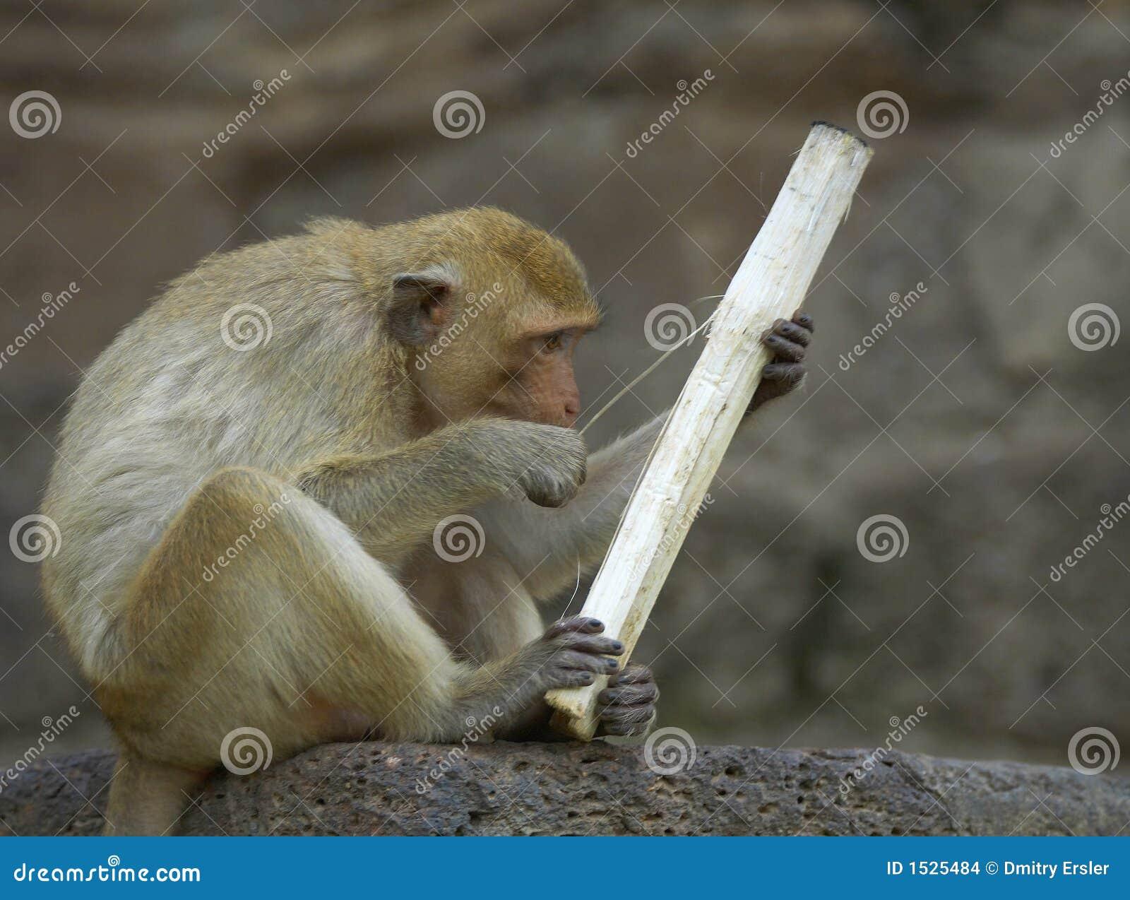 πίθηκος 21