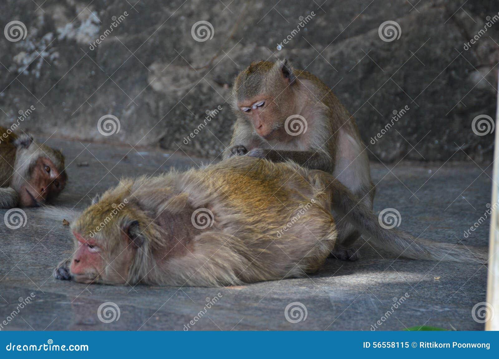 Download Πίθηκος στοκ εικόνα. εικόνα από φύση, καβούρι, δάσος - 56558115