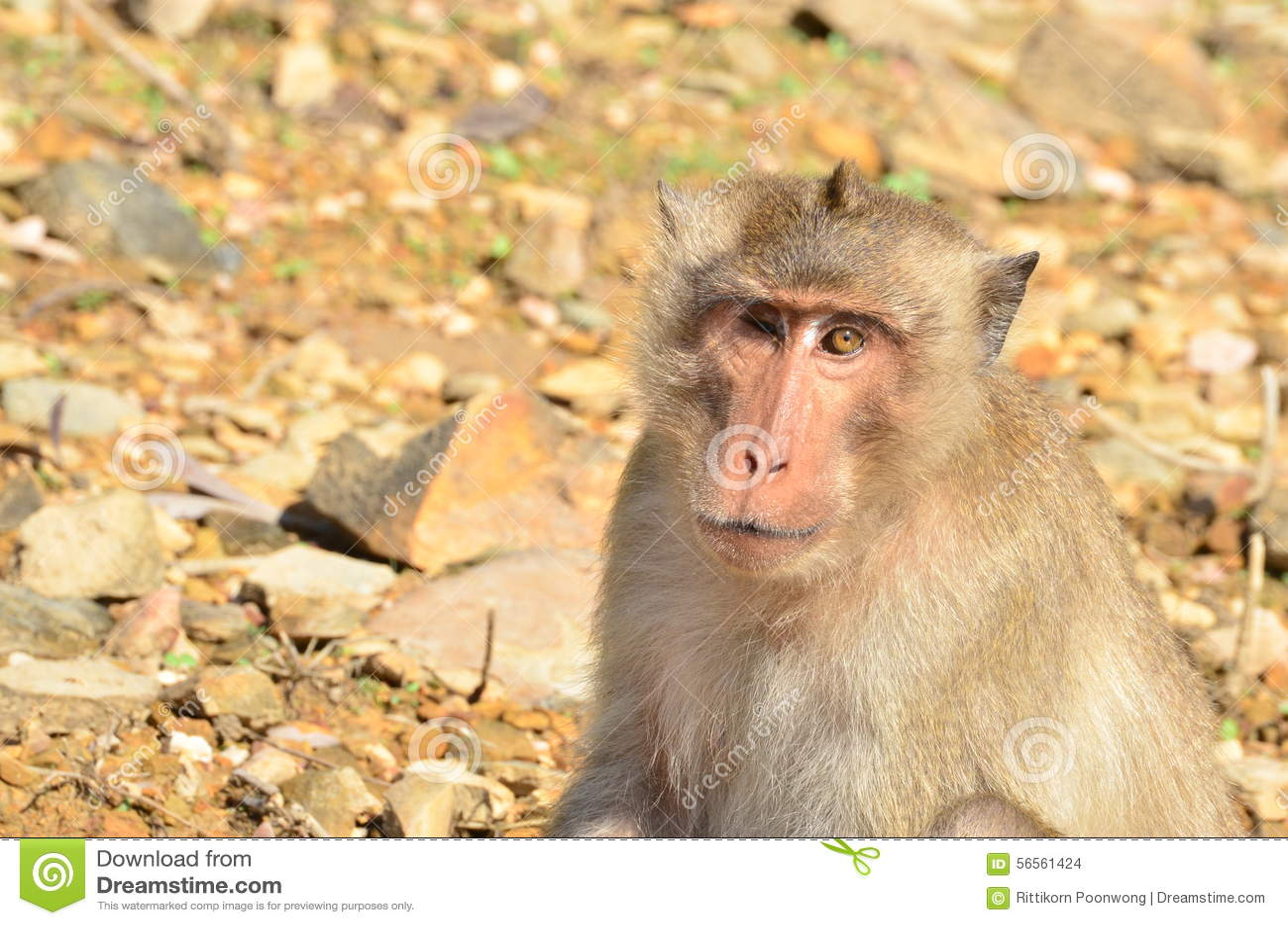 Download Πίθηκος στοκ εικόνες. εικόνα από δέντρο, χαριτωμένος - 56561424