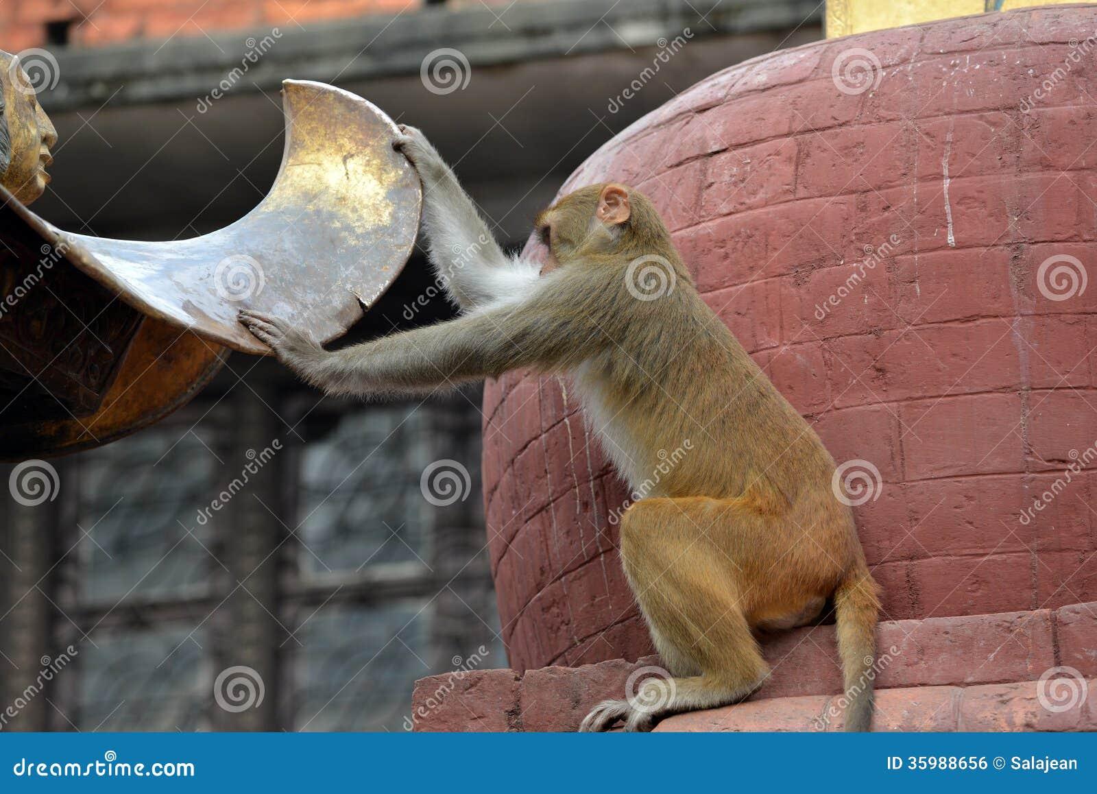 Πίθηκος Macaque, στο ναό Swayambhunath. Κατμαντού, Νεπάλ