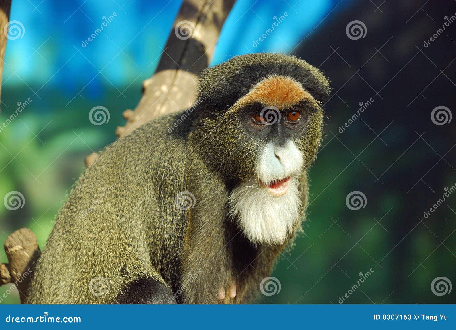 πίθηκος s debrazza
