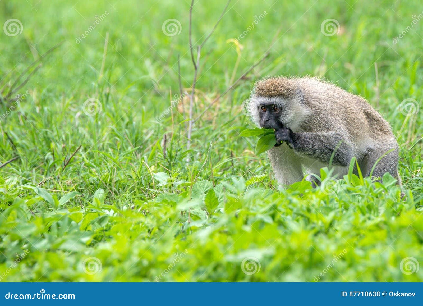 Πίθηκος Vervet ή pygerythrus Chlorocebus