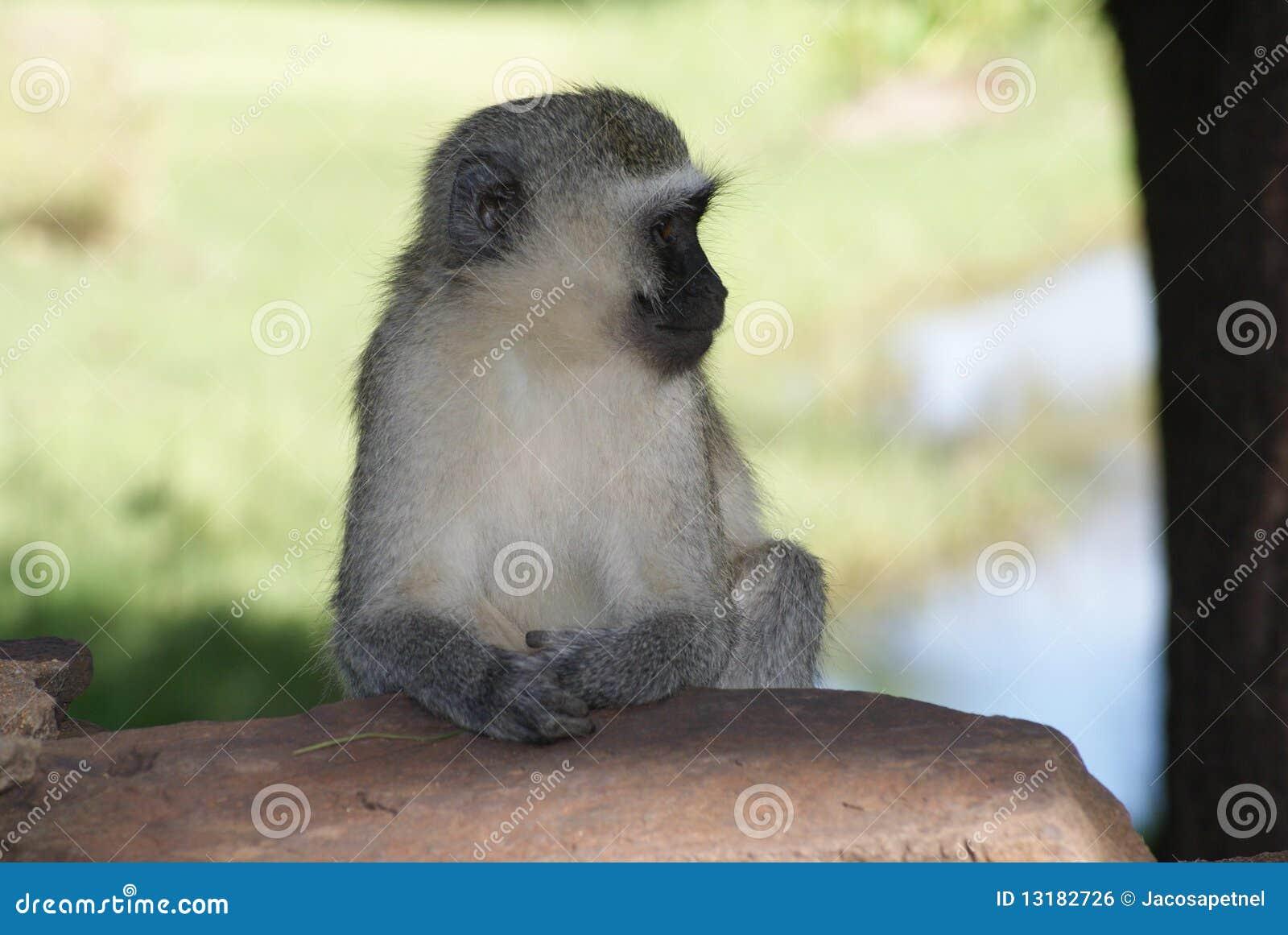 πίθηκος vervet