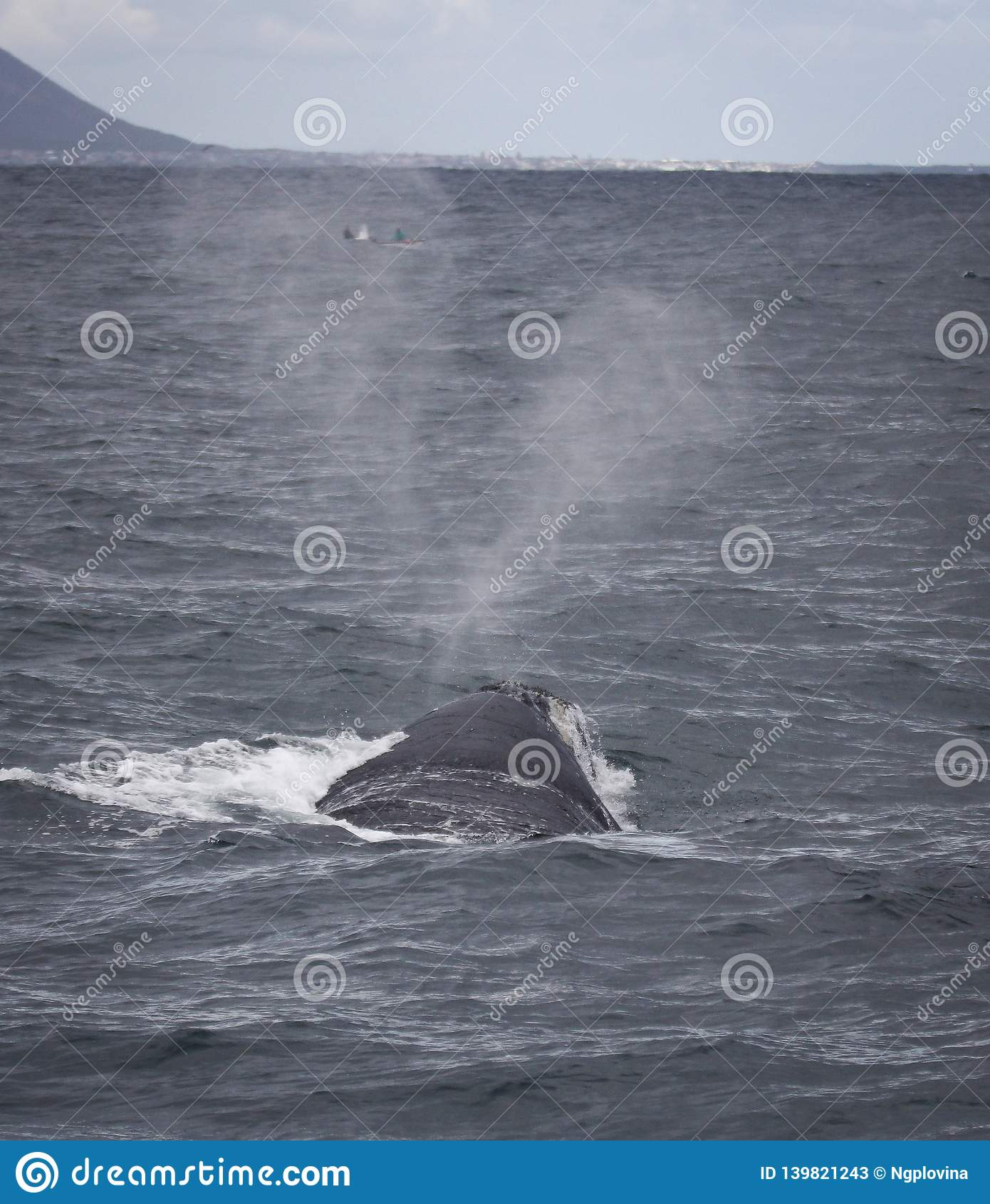 Πίσω μιας νότιας σωστής φάλαινας που κολυμπά κοντά στο Hermanus, δυτικό ακρωτήριο διάσημα βουνά kanonkop της Αφρικής κοντά στο γρ