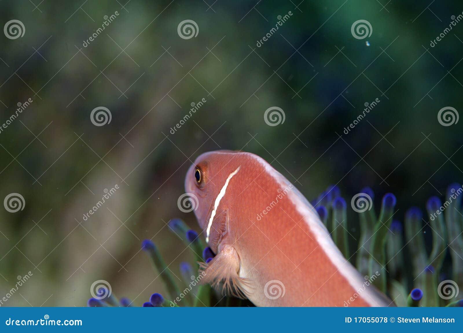 πίσω ροζ ψαριών anemone