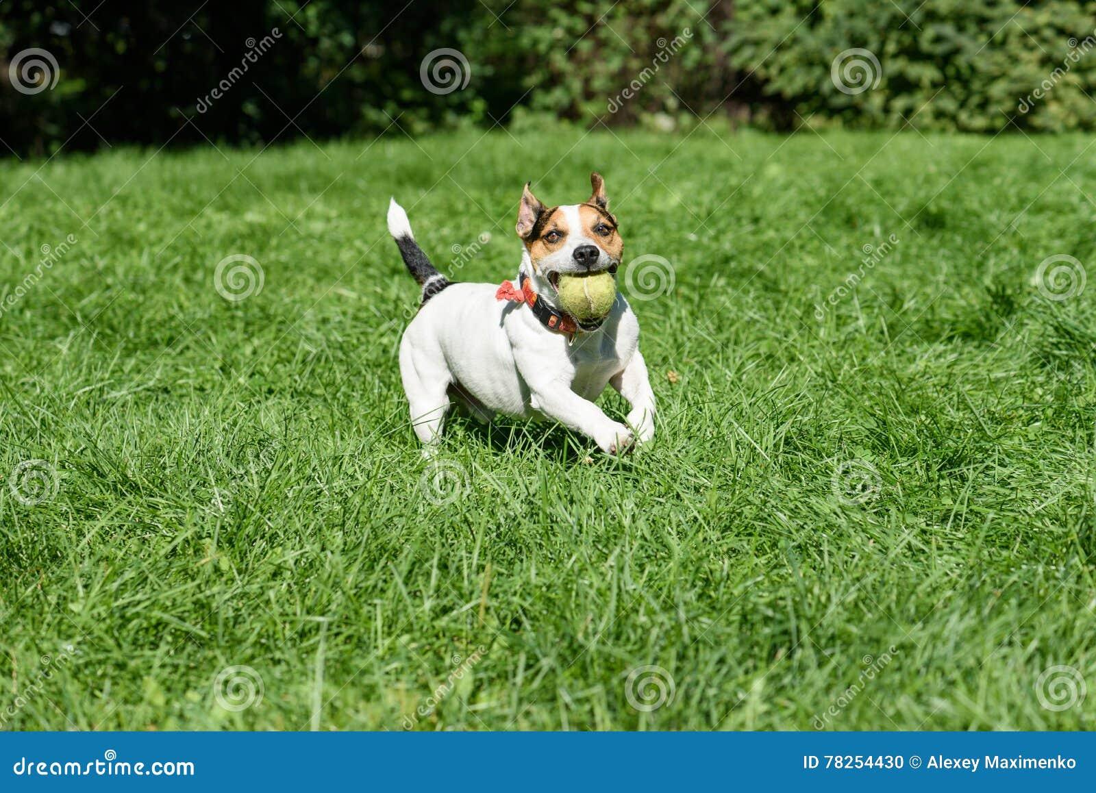 Παίζοντας και φέρνοντας αντισφαίρισης σφαιρών παιχνίδι σκυλιών
