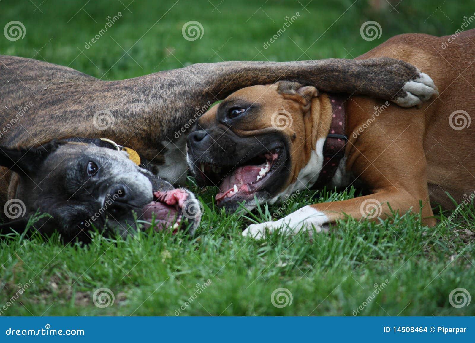 παιχνίδι σκυλιών μπόξερ