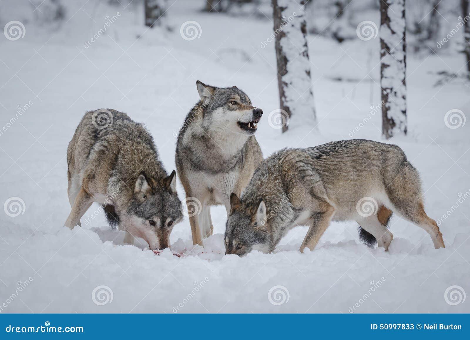 Πακέτο λύκων