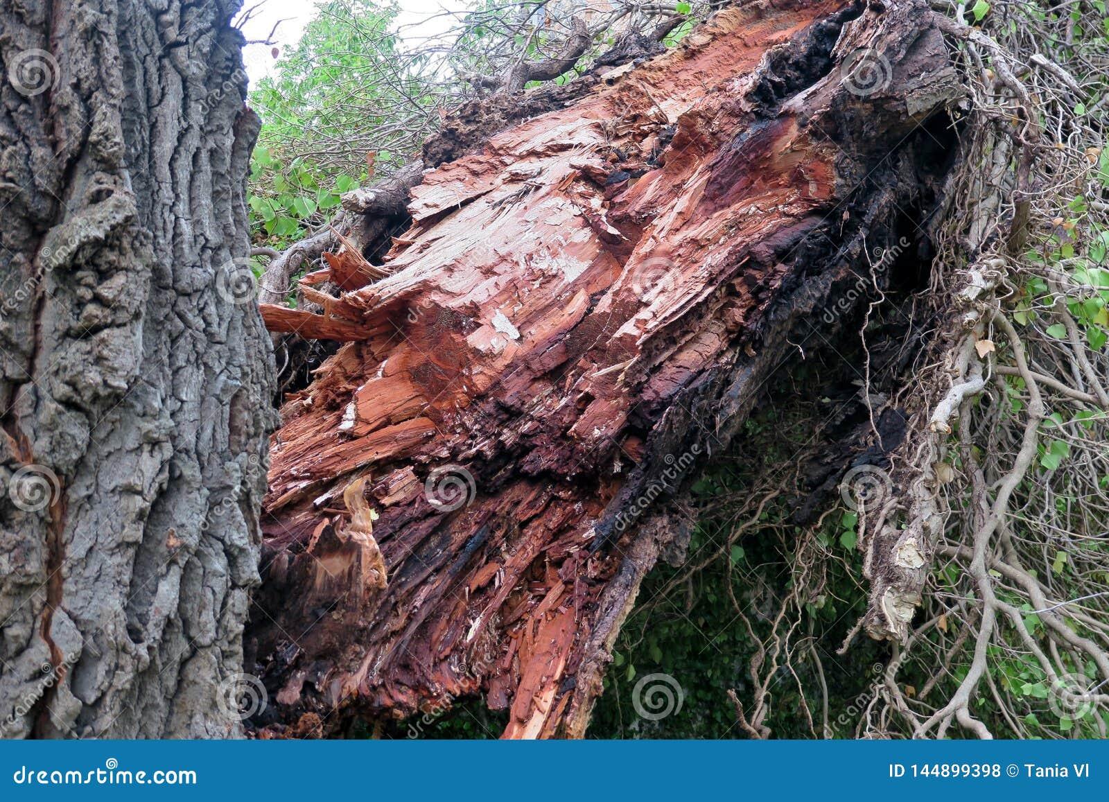 Παλαιό μεγάλο δέντρο που χωρίζεται σε δύο και που πέφτουν στο έδαφος