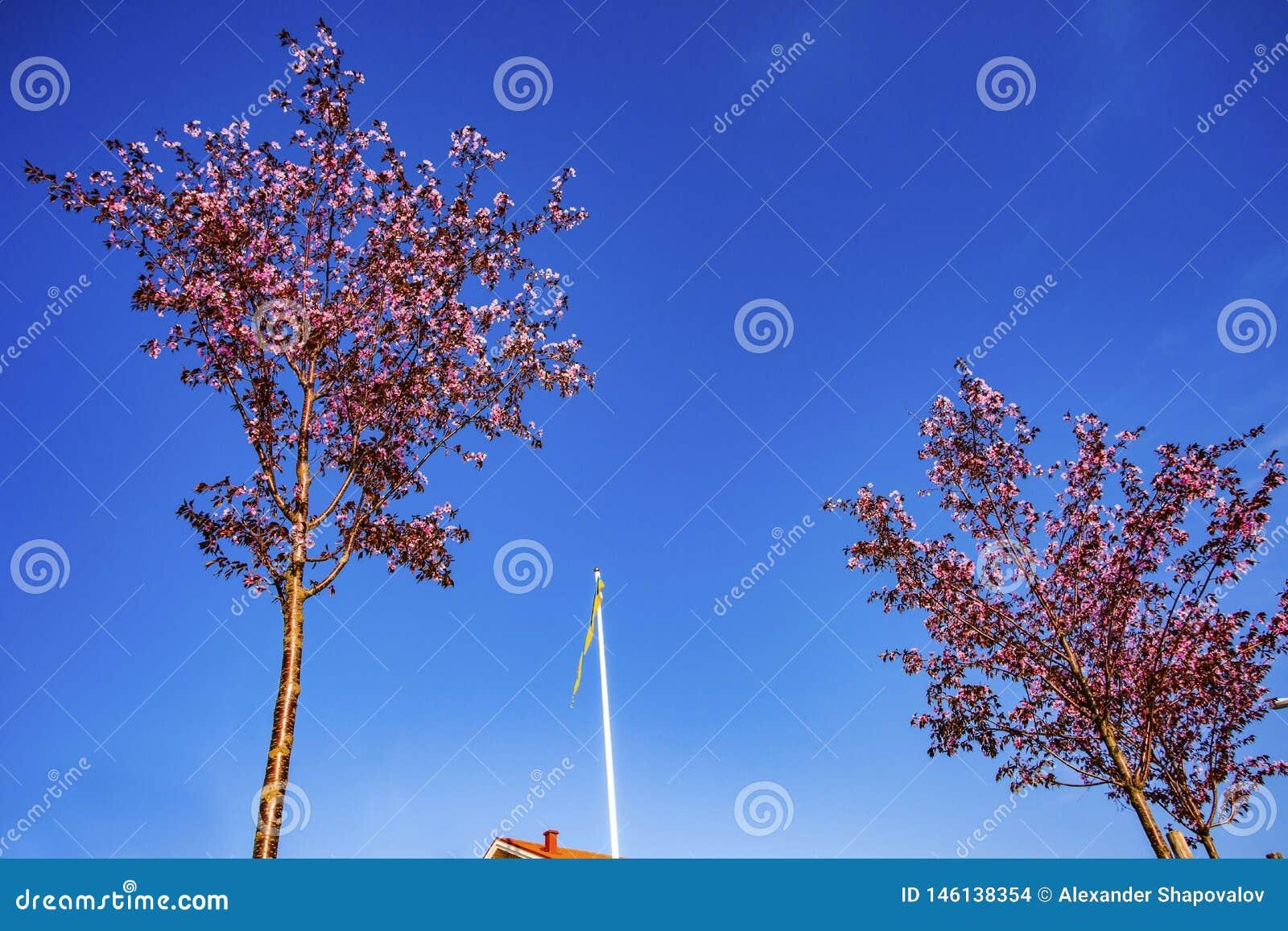 Πανέμορφη άποψη της σουηδικής σημαίας μεταξύ δύο ανθίζοντας δέντρων μηλιάς στο υπόβαθρο μπλε ουρανού