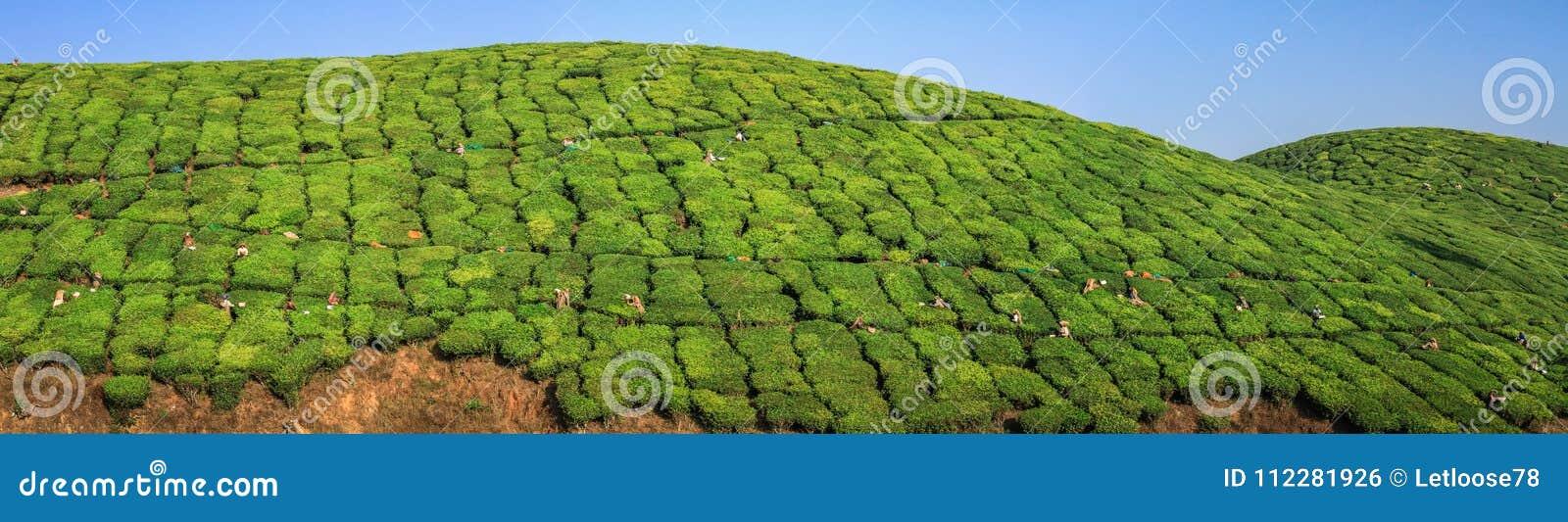 Πανοραμική άποψη σχετικά με τους εργαζομένους τσαγιού που συγκομίζουν το τσάι στους πράσινους πολύβλαστους λόφους και τα βουνά φυ