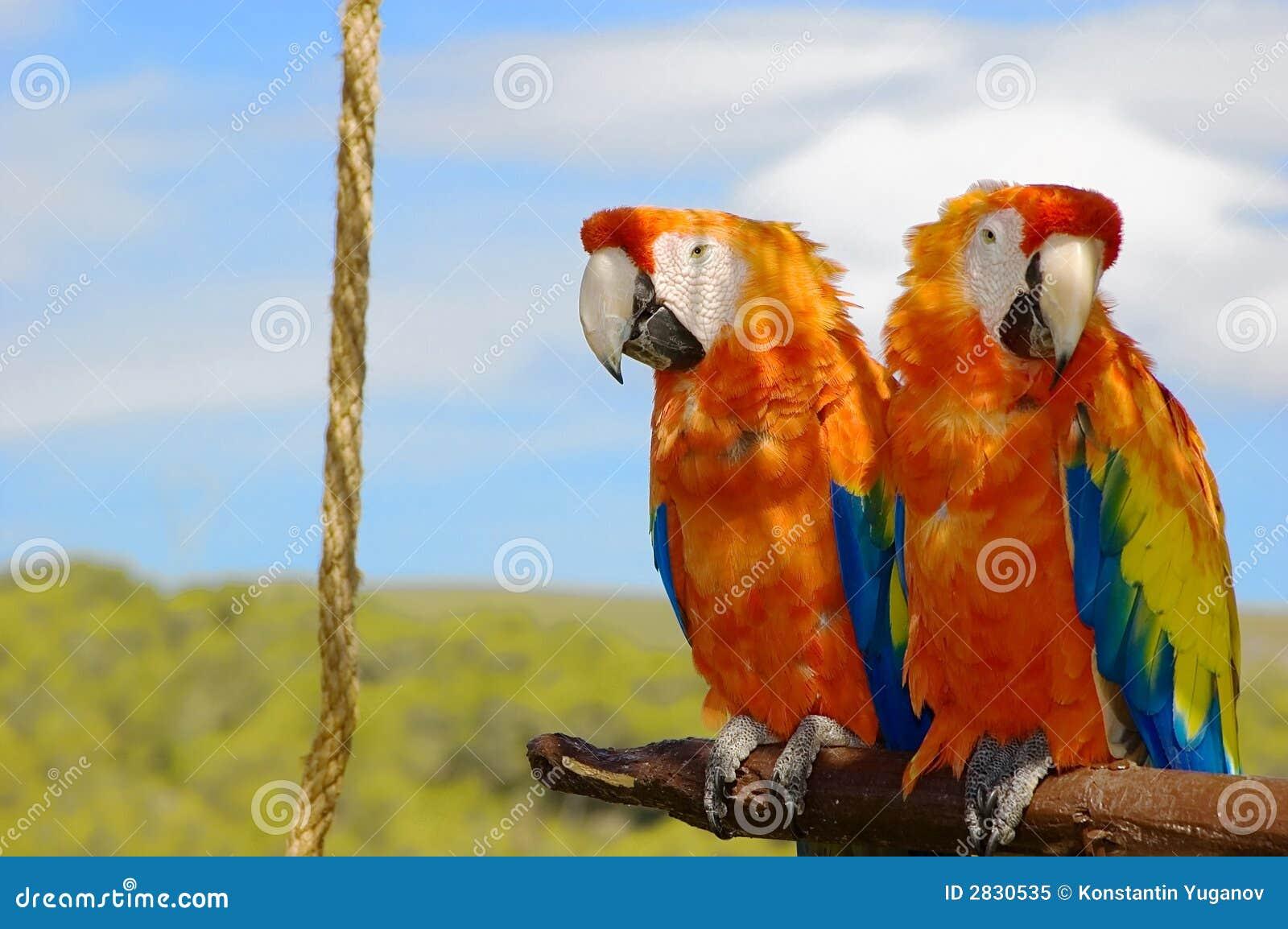 παπαγάλοι δύο