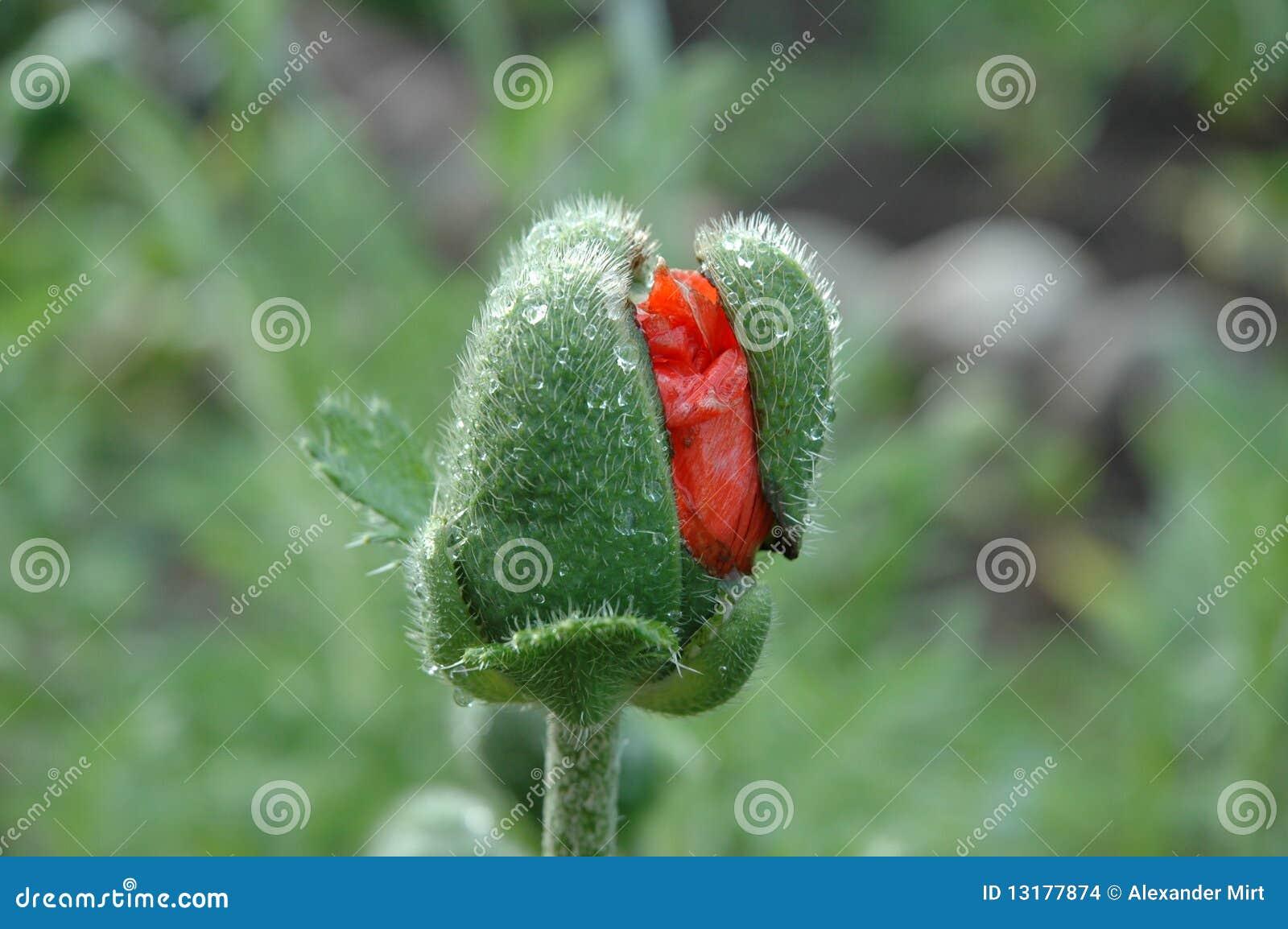 παπαρούνα λουλουδιών