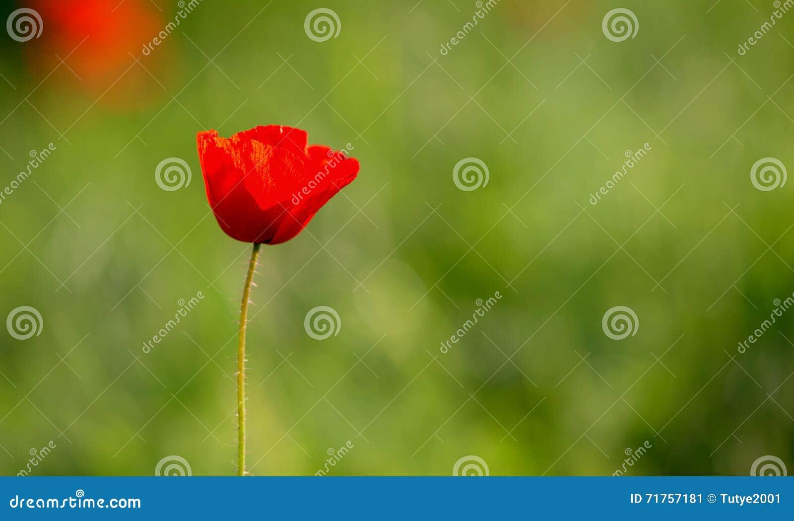 παπαρούνα χλόης λουλουδιών πεδίων κινηματογραφήσεων σε πρώτο πλάνο ενιαία απομονωμένος