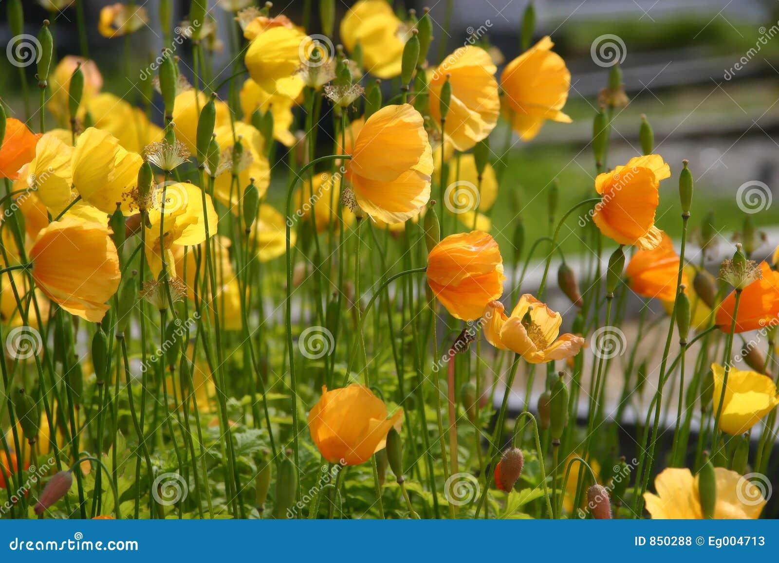 παπαρούνες κίτρινες