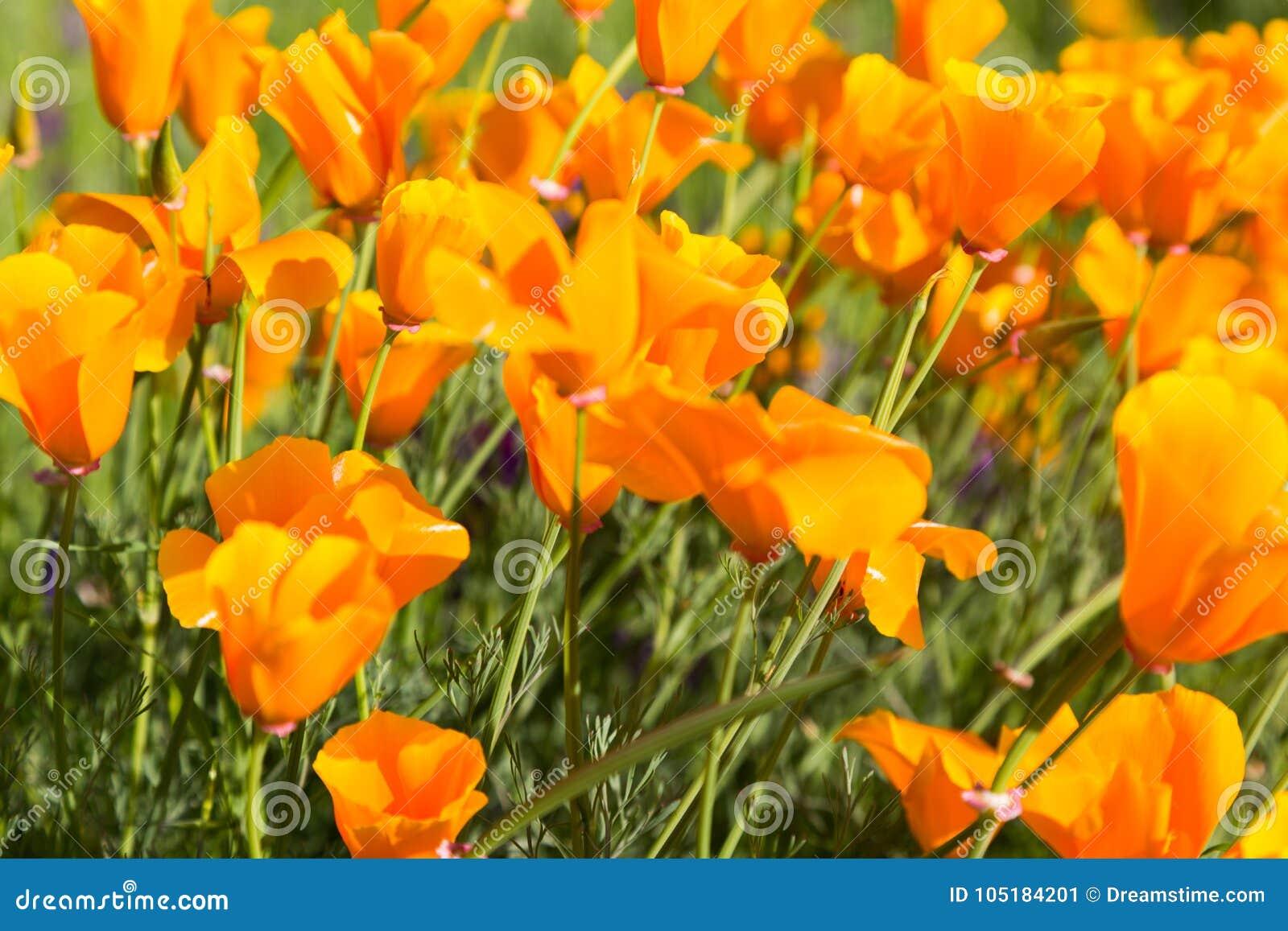 Παπαρούνες Καλιφόρνιας σε έναν τομέα με τα πορφυρά λουλούδια