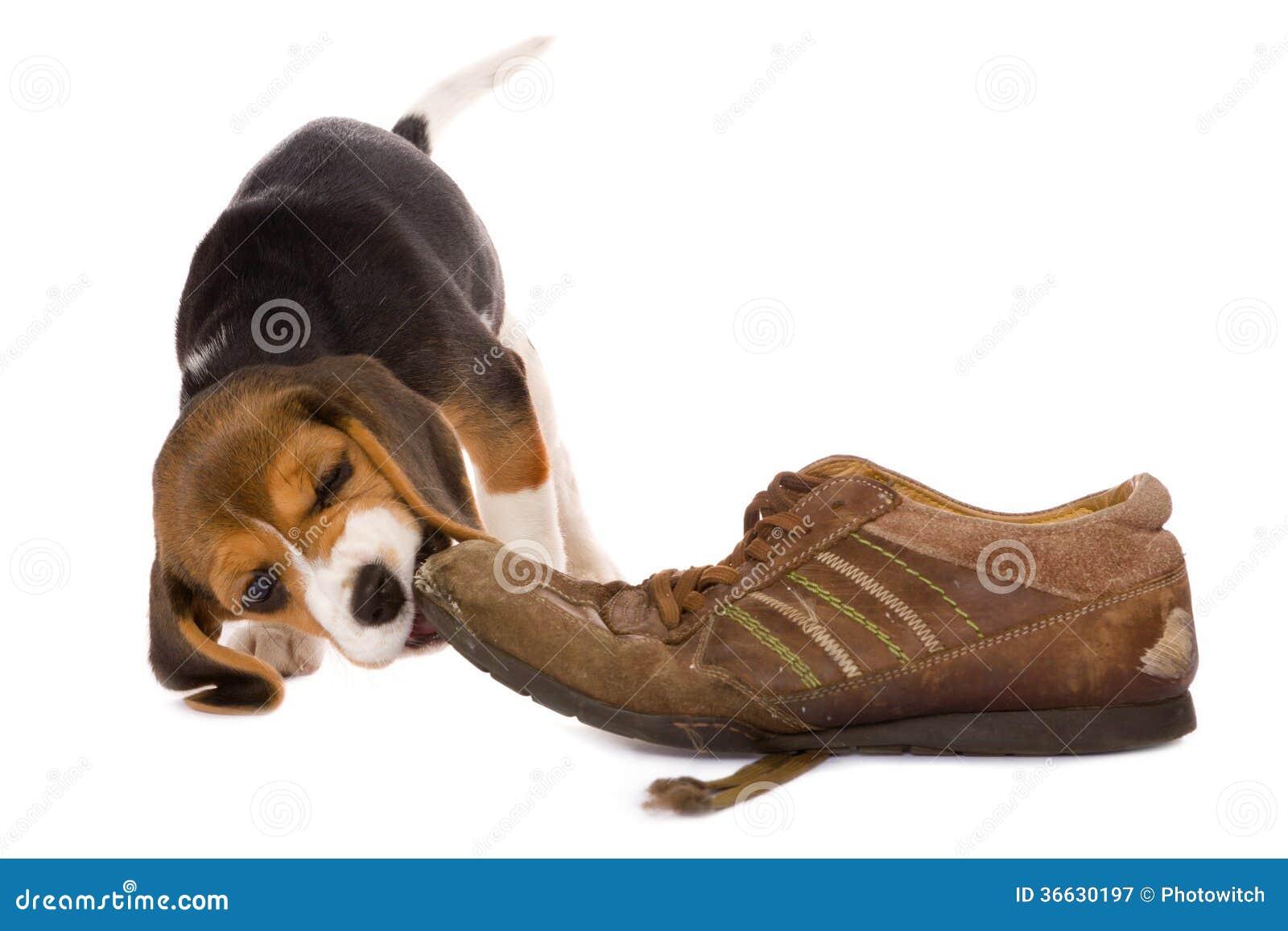 Παπούτσι δαγκώματος κουταβιών