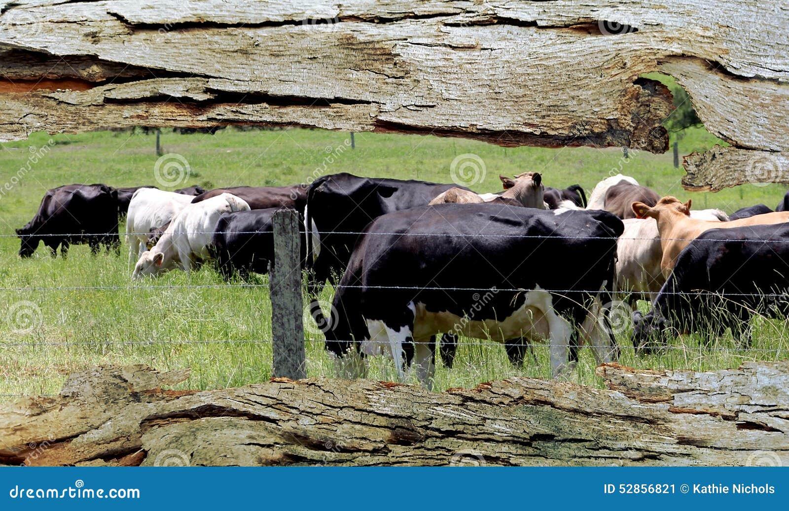 Παράθυρο φλοιών δέντρων στη βοσκή των αγελάδων