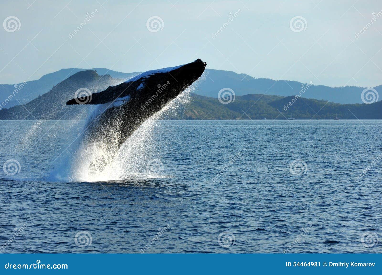 Παραβίαση φαλαινών Humpback, Whitsundays, Αυστραλία