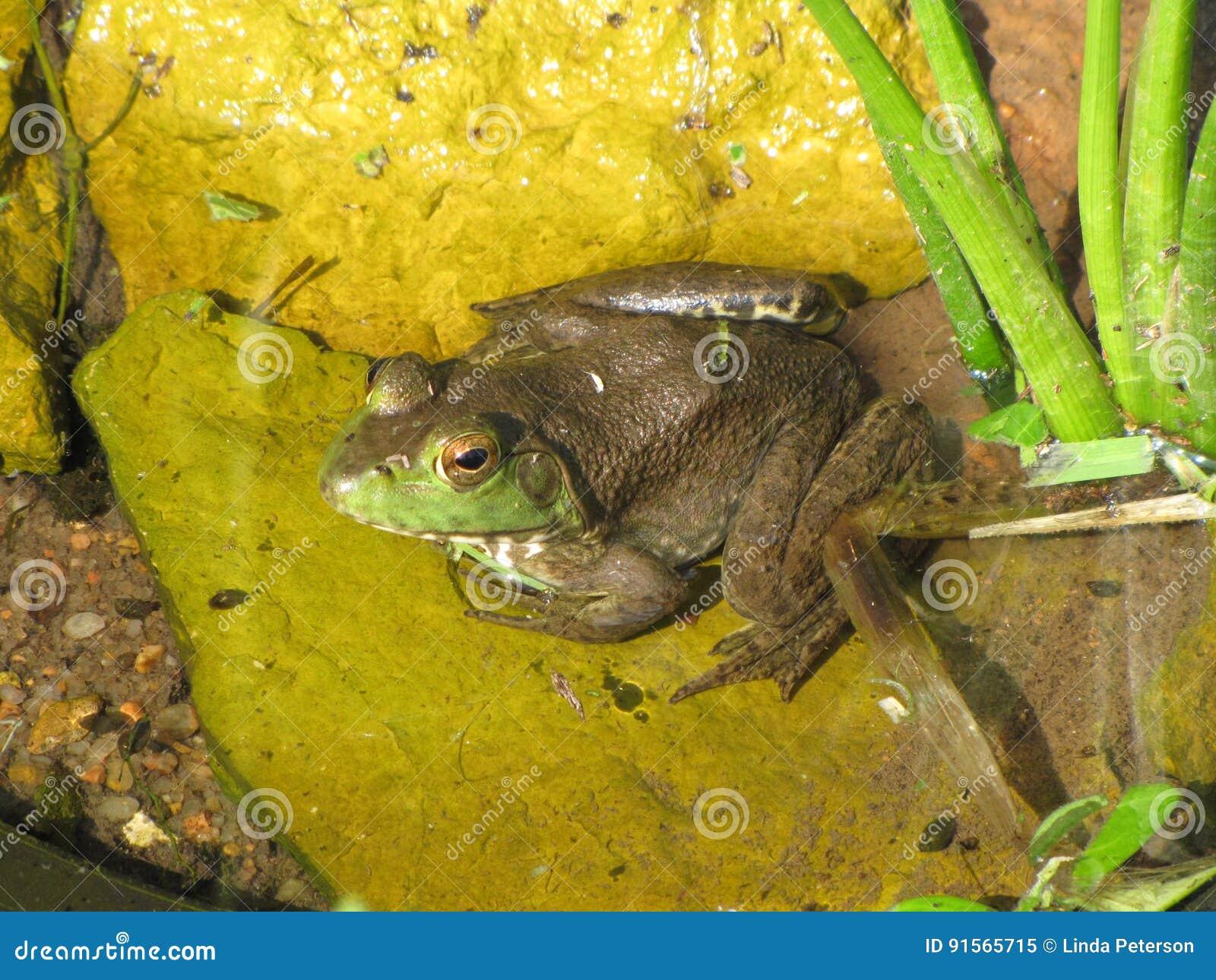 Παρακολουθημένο Eyed Bullfrog