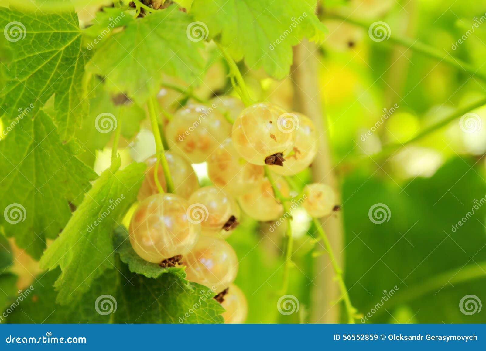Download παρόν λευκό στοκ εικόνα. εικόνα από τρόφιμα, χορτοφάγος - 56552859