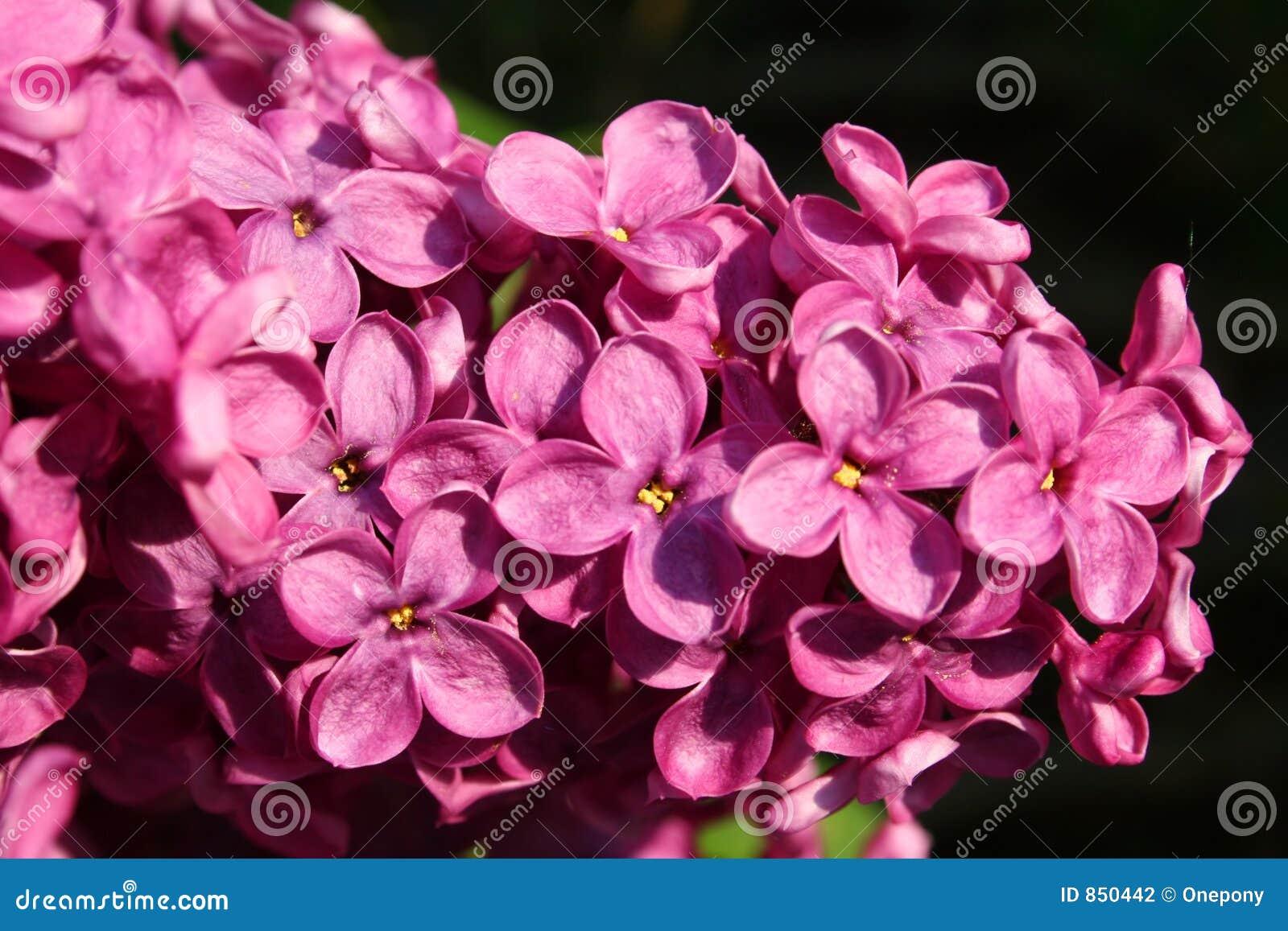 πασχαλιά λουλουδιών λ&epsi