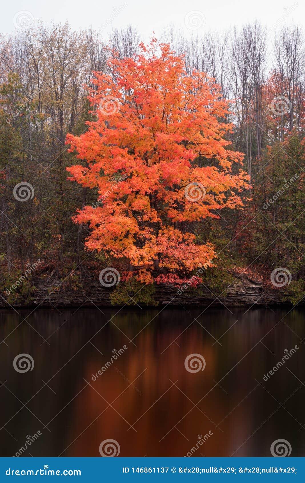 Παφλασμός του πορτοκαλιού χρώματος σε ένα δέντρο σφενδάμνου το φθινόπωρο