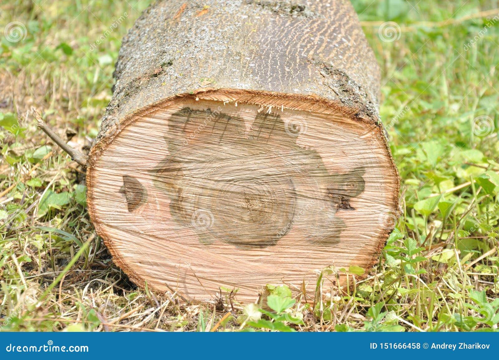 Παχύς κορμός δέντρων περικοπών r