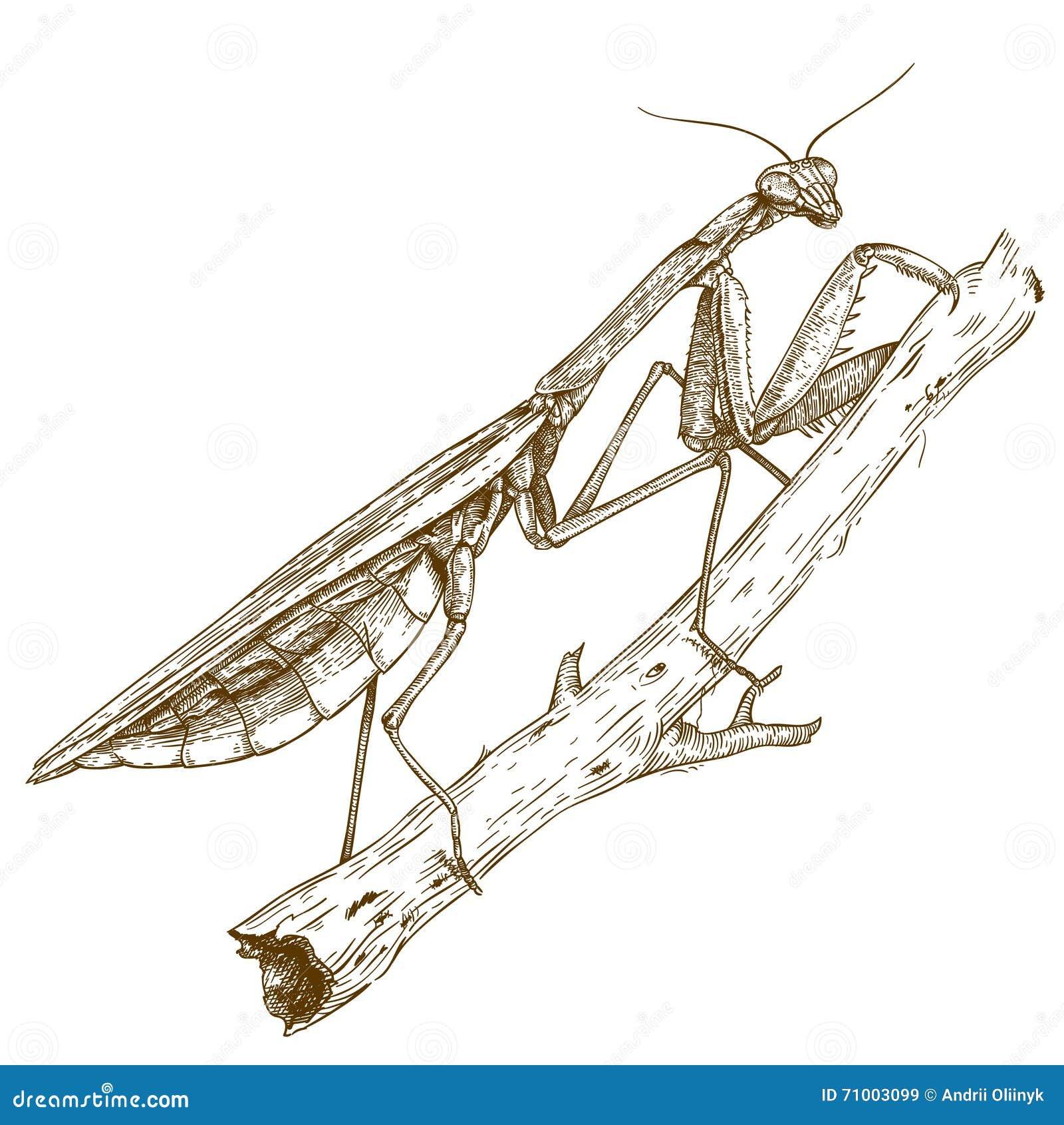 Παλαιά απεικόνιση χάραξης των mantis