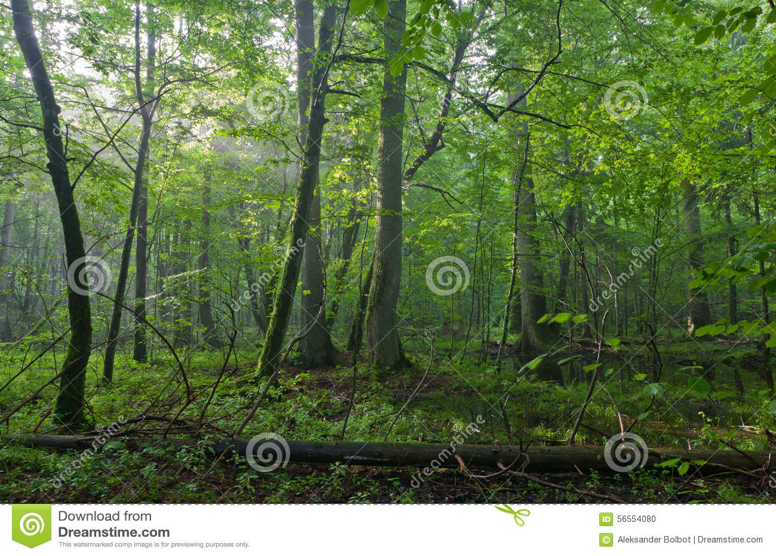 Download Παλαιά βαλανιδιά και Hornbeams φυσικού στα τέλη του καλοκαιριού Στοκ Εικόνες - εικόνα από οικοσύστημα, τοπίο: 56554080