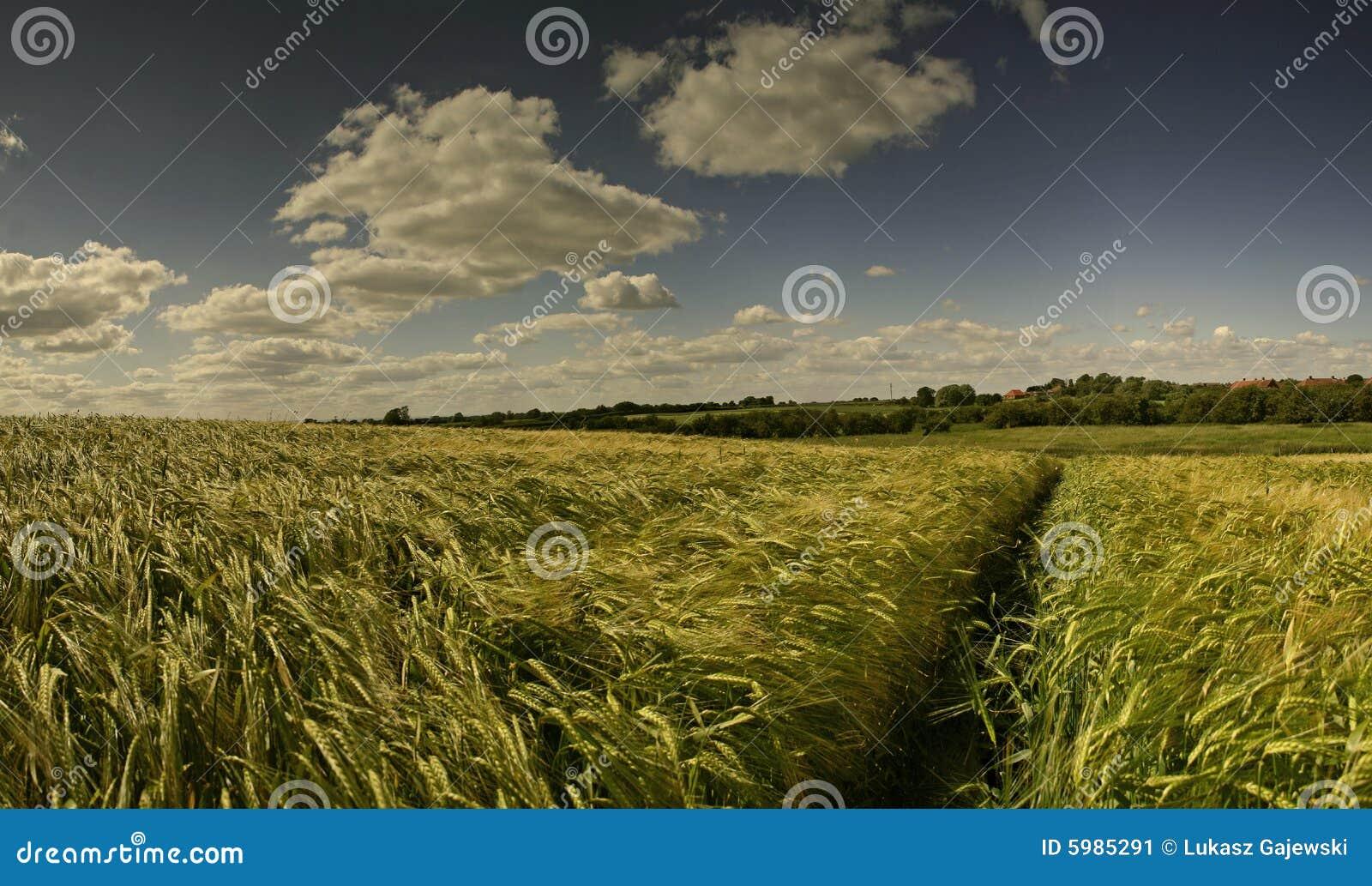 πεδία δημητριακών