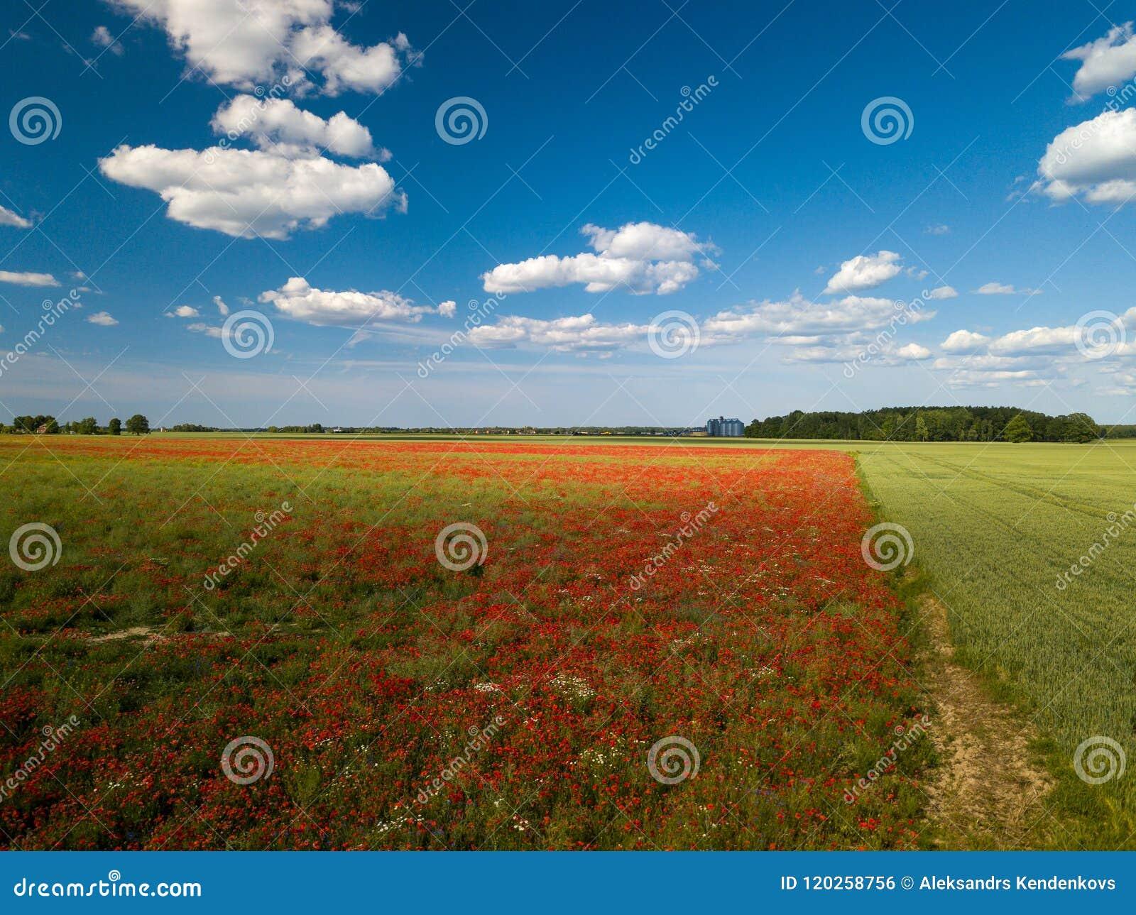 Πεδία παπαρουνών επάνω από την όψη Πολλά κόκκινα λουλούδια ν